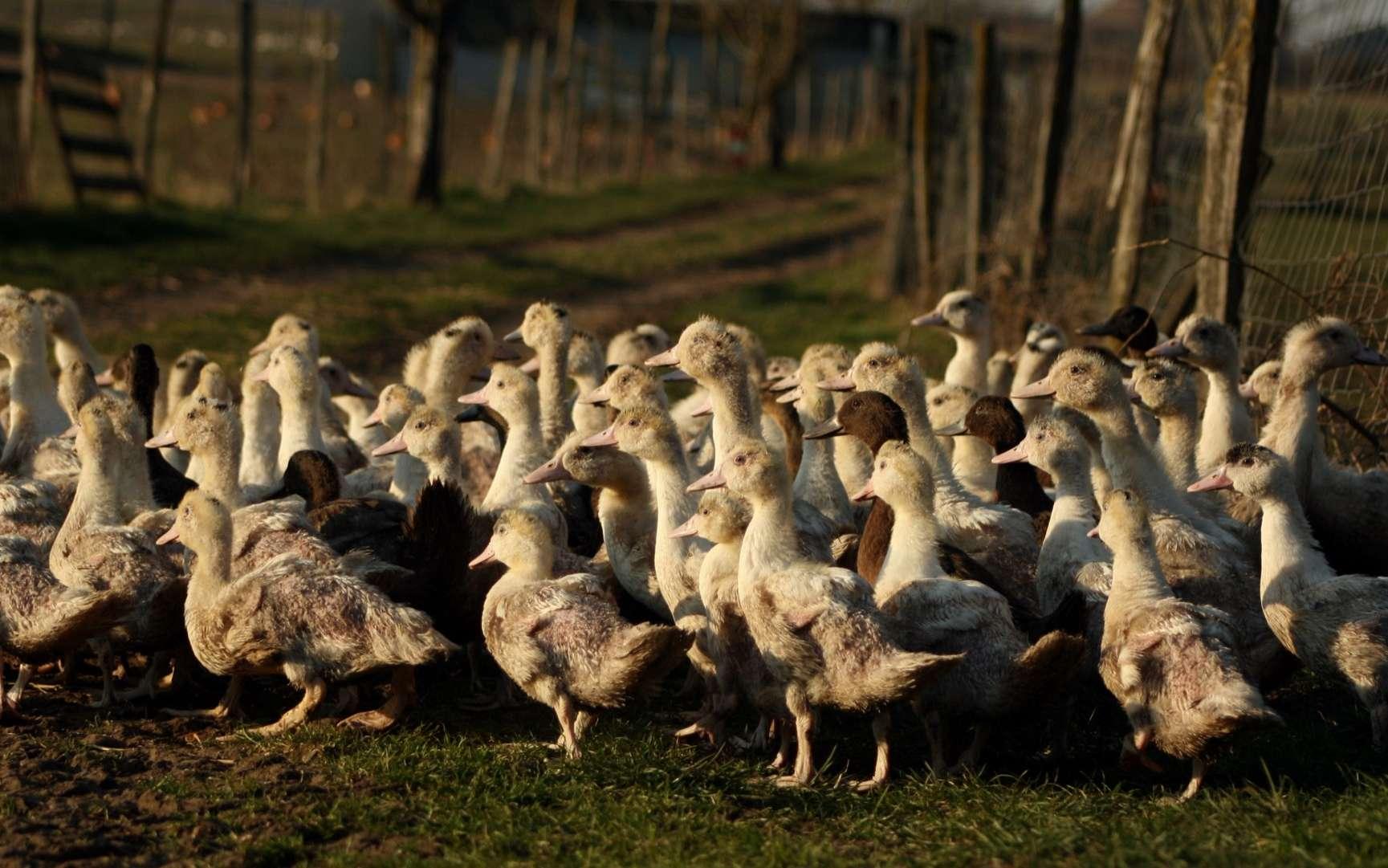 Dans le sud-ouest de la France, la grippe aviaire est de retour et est « hors de contrôle ». L'État a préconisé un abattage renforcé des élevages de canards. © Toanet, Adobe Stock