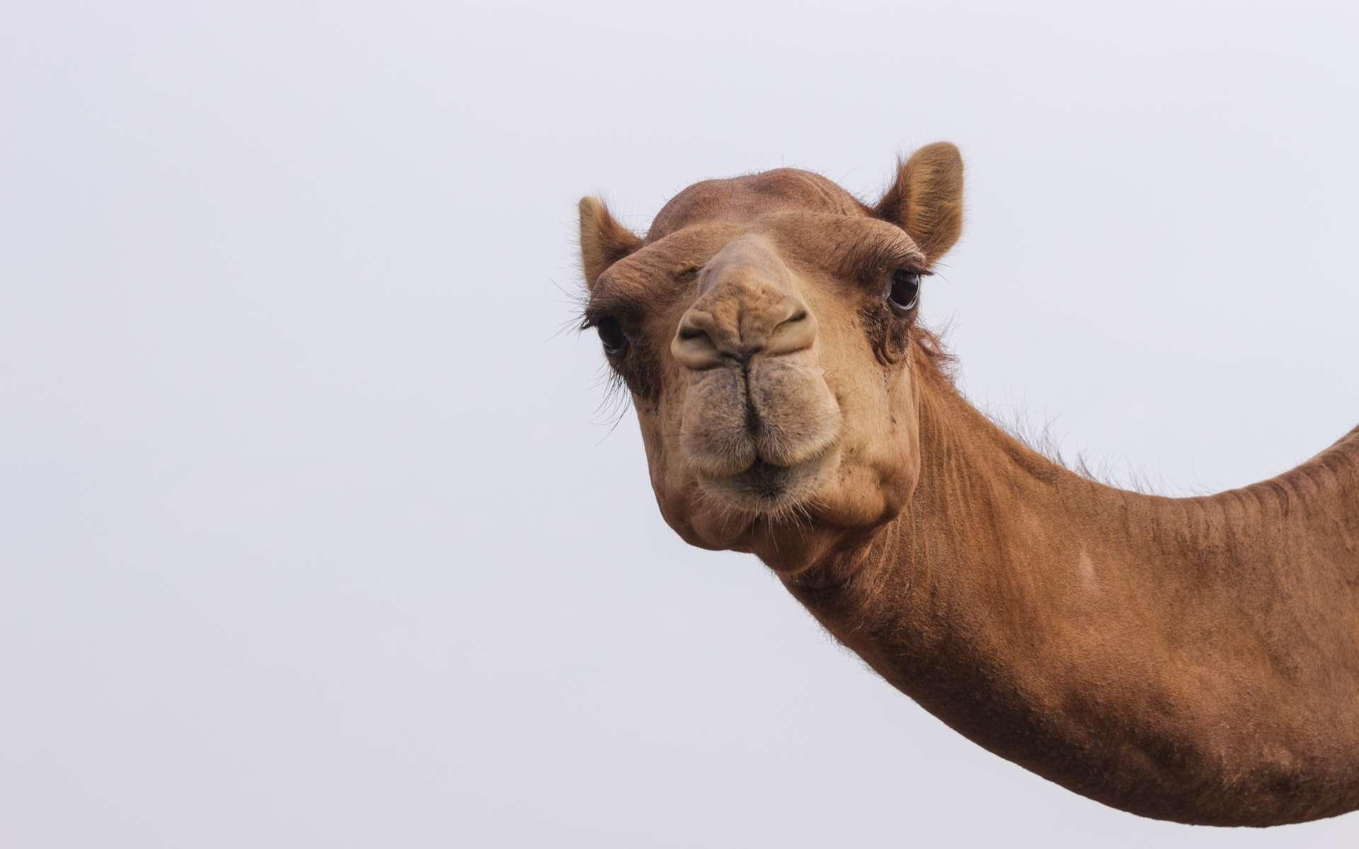 En Arabie saoudite, des silhouettes de chameaux sculptés grandeur nature à fleur de roche attestent d'une occupation du site entre 5.200 et 5.600 ans avant notre ère. © Palaeodeserts Project