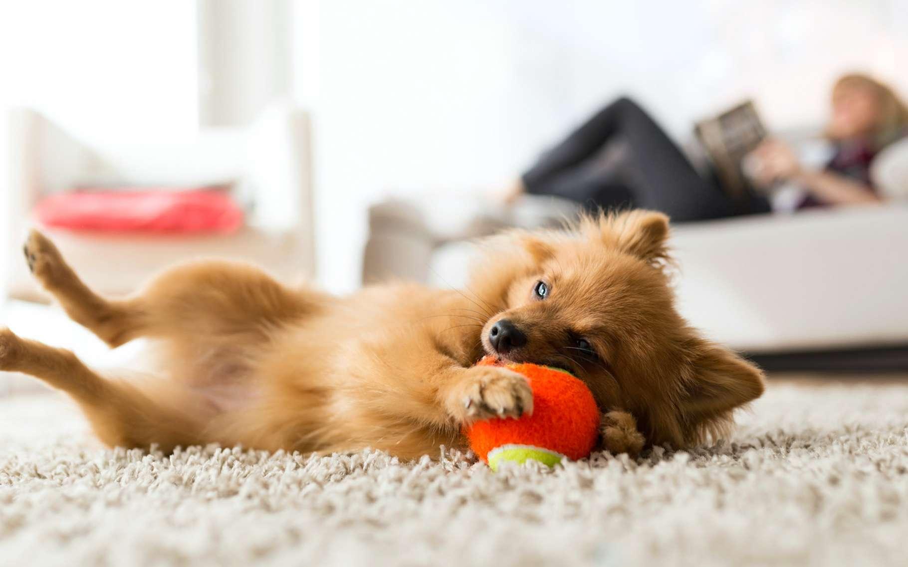Un chien peut parfaitement vivre heureux dans un appartement. © nenetus, Fotolia