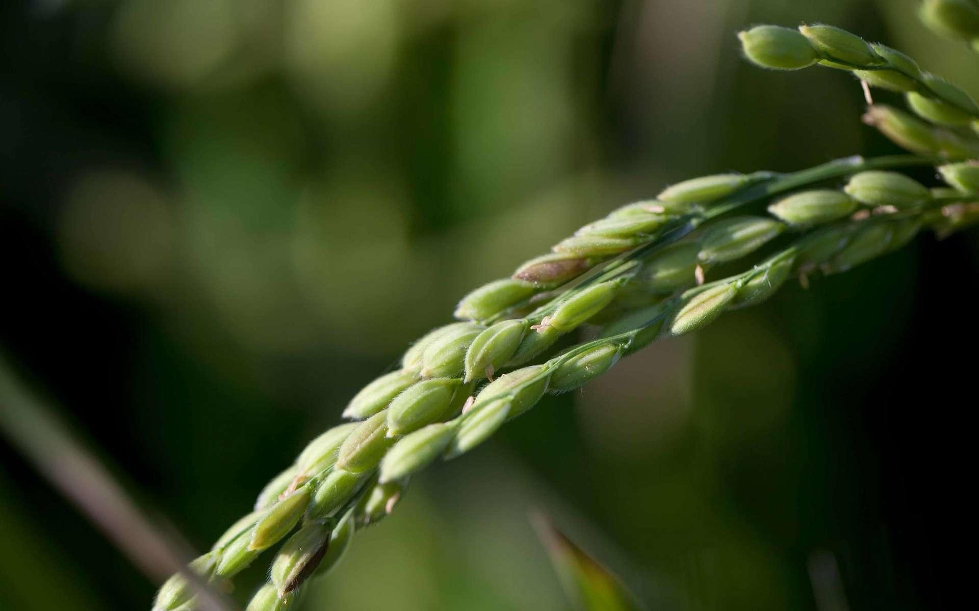 Le vaccin MucoRice-CTB est obtenu via du riz génétiquement modifié. © alcidesota, Flickr