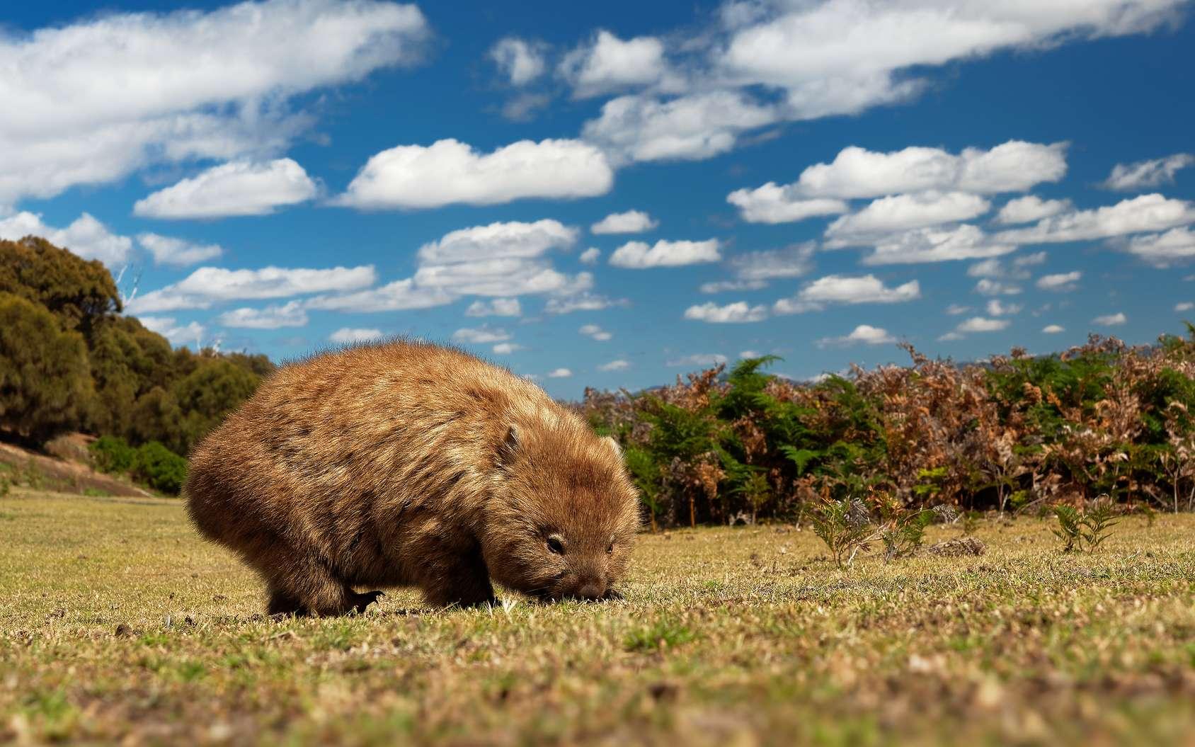 Le wombat commun est le plus gros mammifère creusant des terriers. © phototrip.cz, fotolia