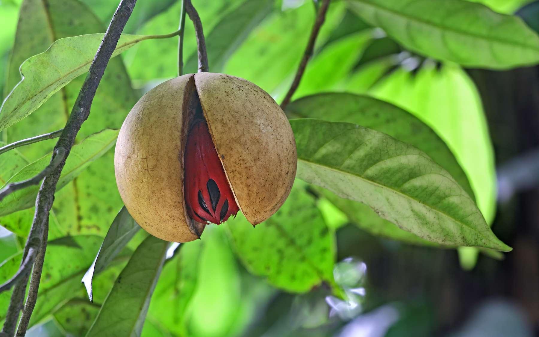 Une noix de muscade. © natmat, Adobe Stock