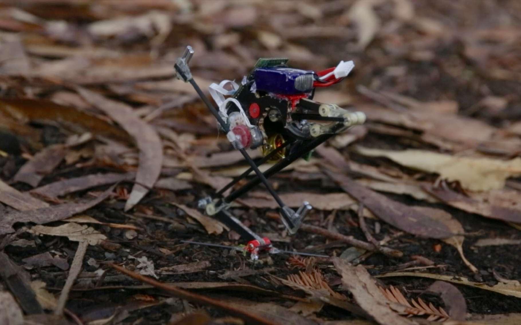 Selon ses concepteurs de l'université de Californie à Berkeley, pour ce qui est bondir, le robot sauteur Salto atteint 78 % de la performance d'un des grands champions du genre : le galago. © UC Berkeley