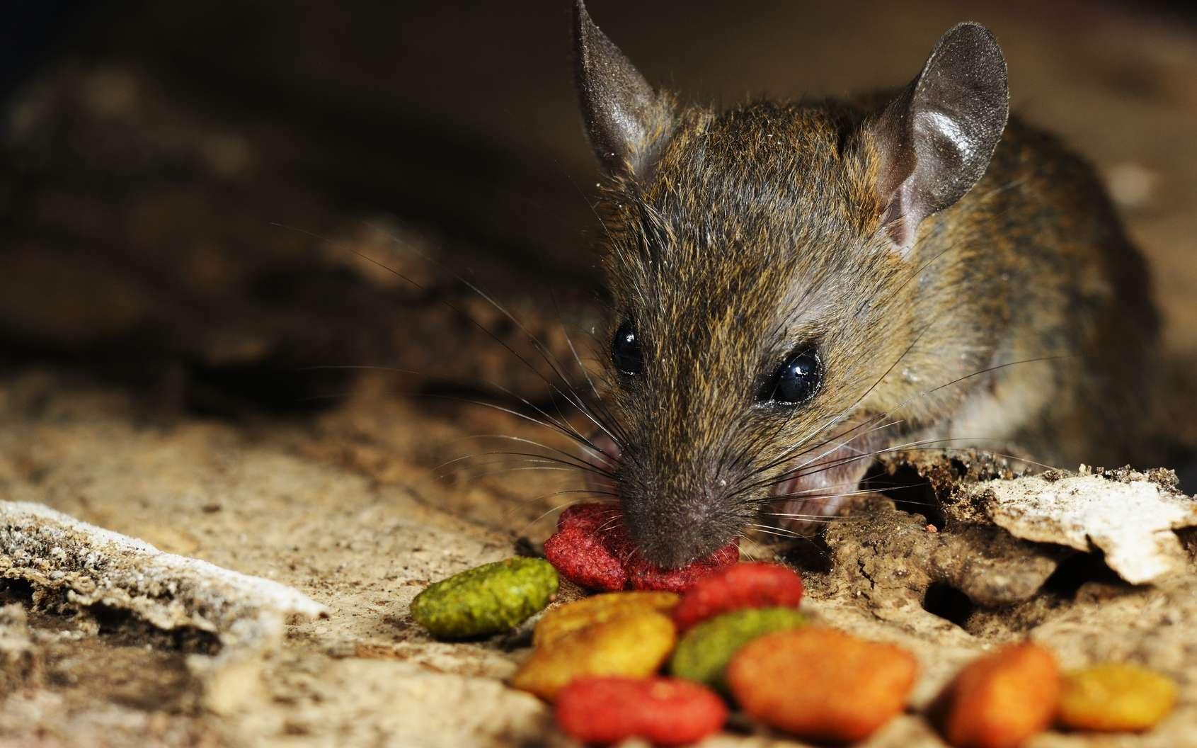 Les rats et la peste. © yadamons, Fotolia