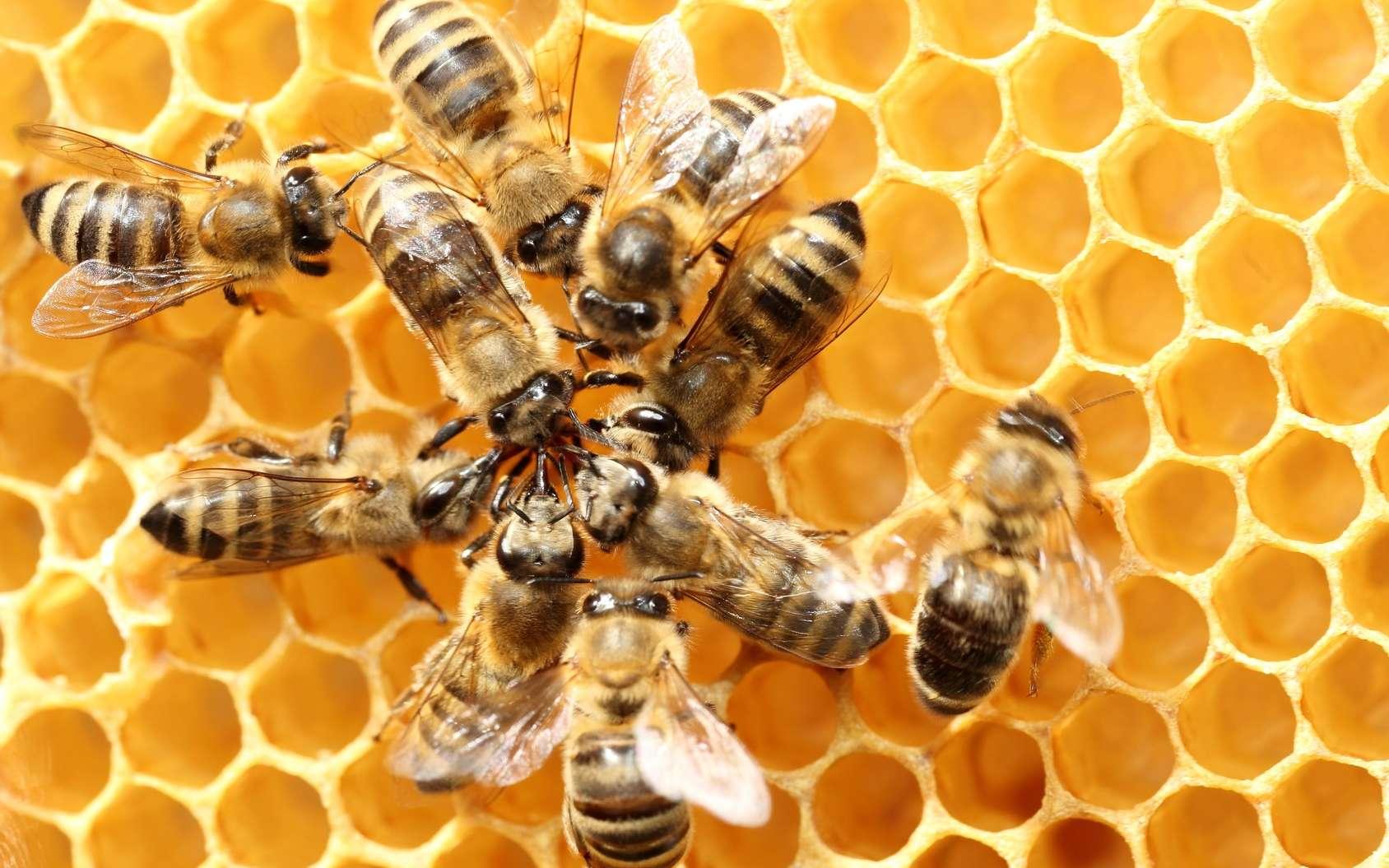 L'Efsa a confirmé que trois pesticides néonicotinoïdes étaient dangereux pour certains animaux. Ainsi, les abeilles qui sont près des champs de maïs traités vivent moins longtemps. © rupbilder, Fotolia