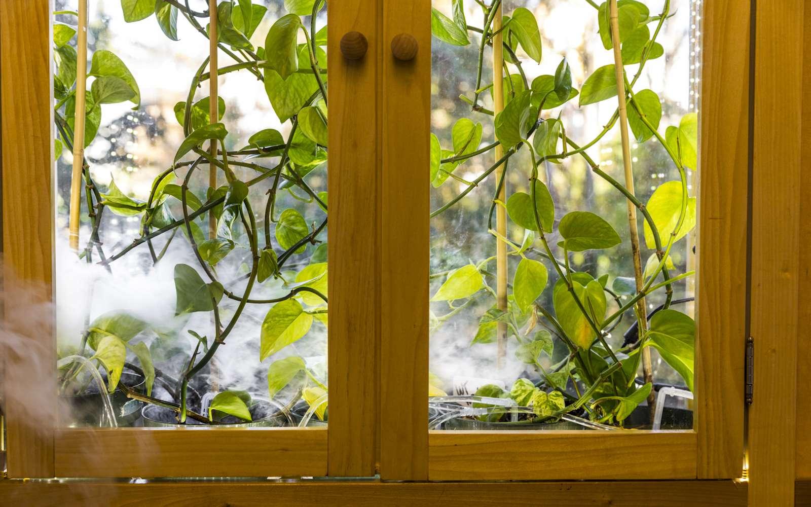 Des plantes génétiquement modifiées pour purifier l'air intérieur des COV. © Mark Stone/University of Washington