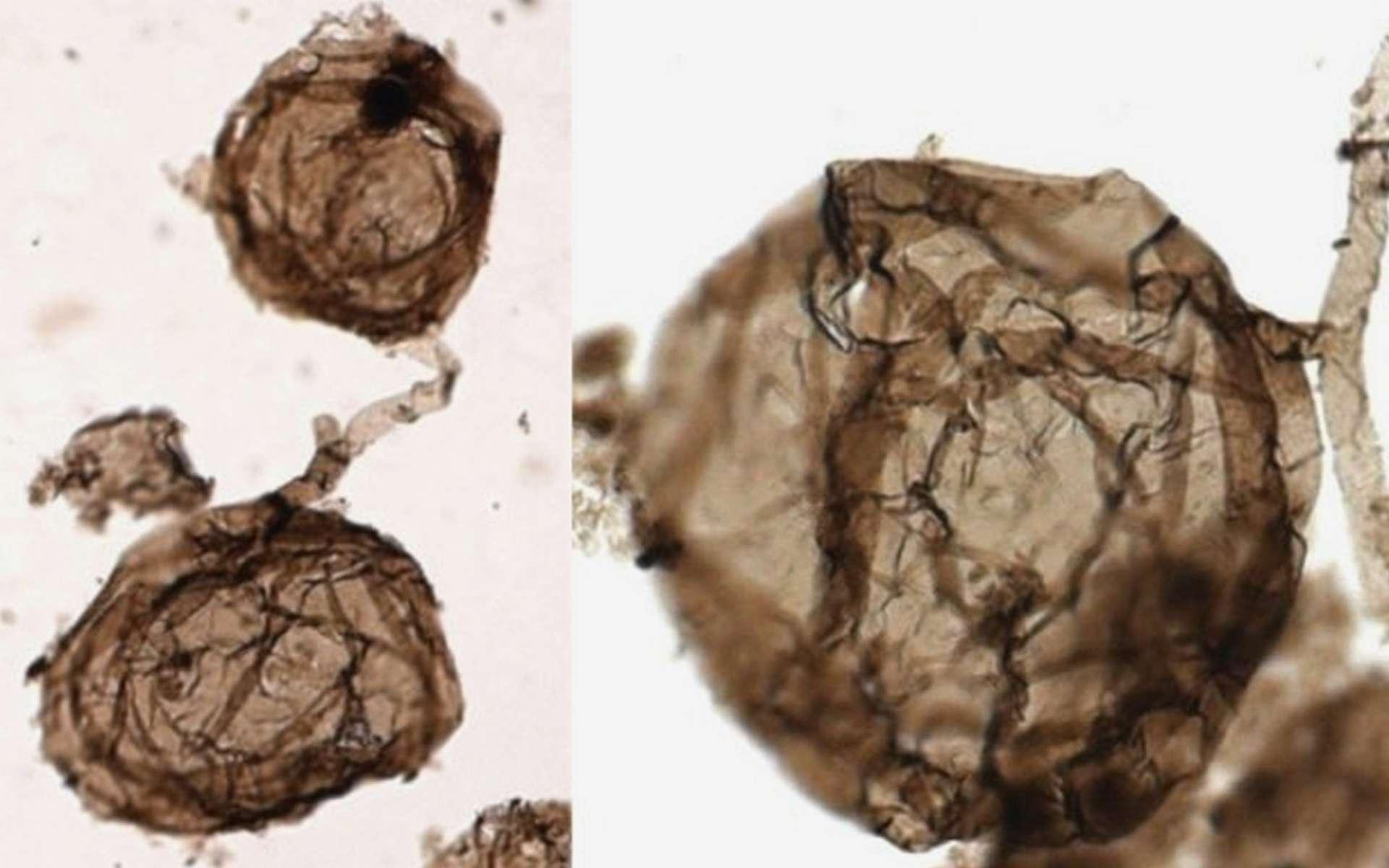 Ourasphaira giraldae, le plus vieux champignon du monde. © Corentin Loron et al., Nature, 2019
