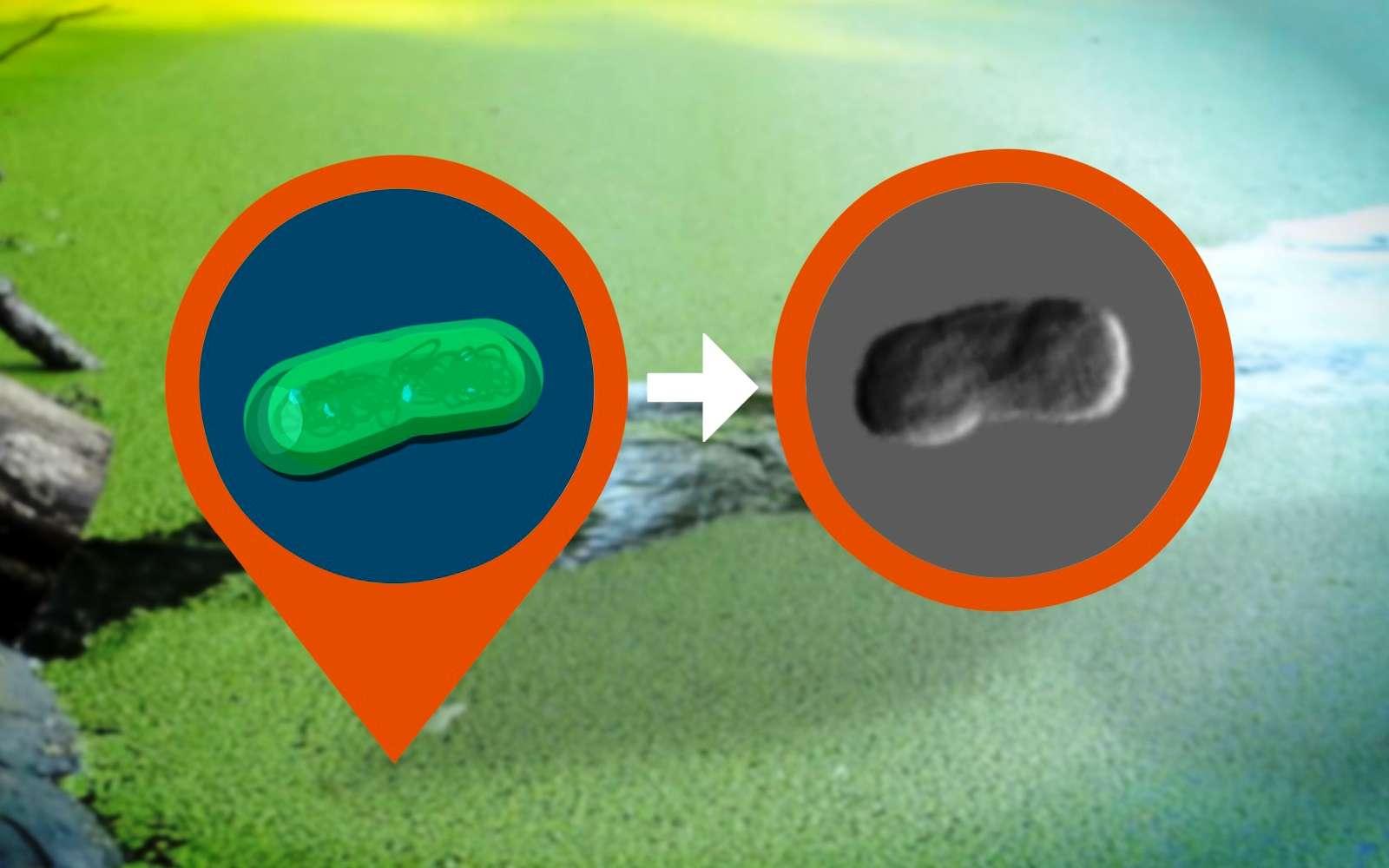 Les cyanobactéries sont des algues qui se développent facilement dans des lacs ou des mares qu'elles colorent en vert. Il est maintenant possible de les photographier avec des rayons X, ce qui constitue une première étape vers une révolution en biologie structurale. © SLAC National Accelerator Laboratory