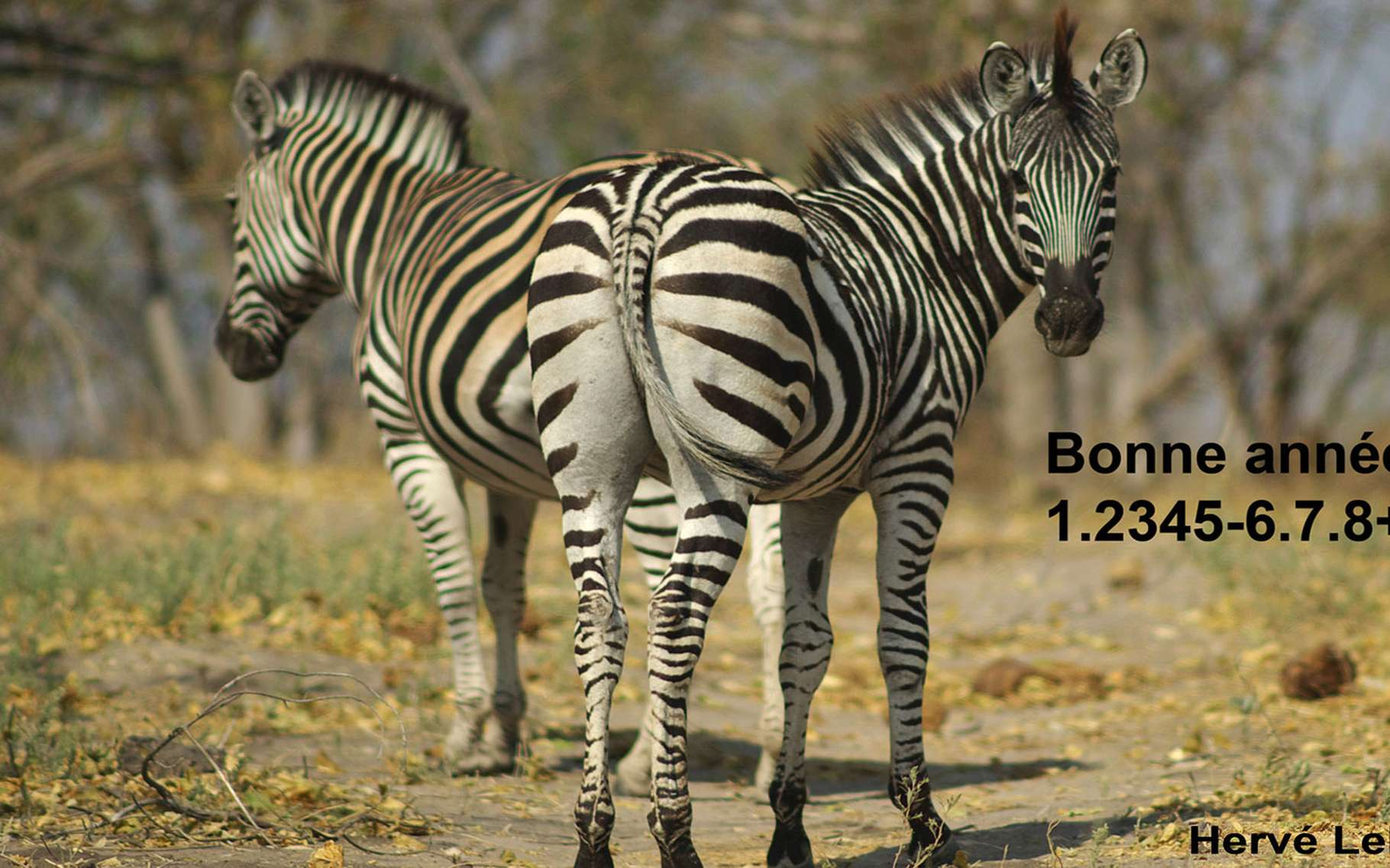 Zèbres dans une région sauvage du Botswana. © Hervé Lehning, DR