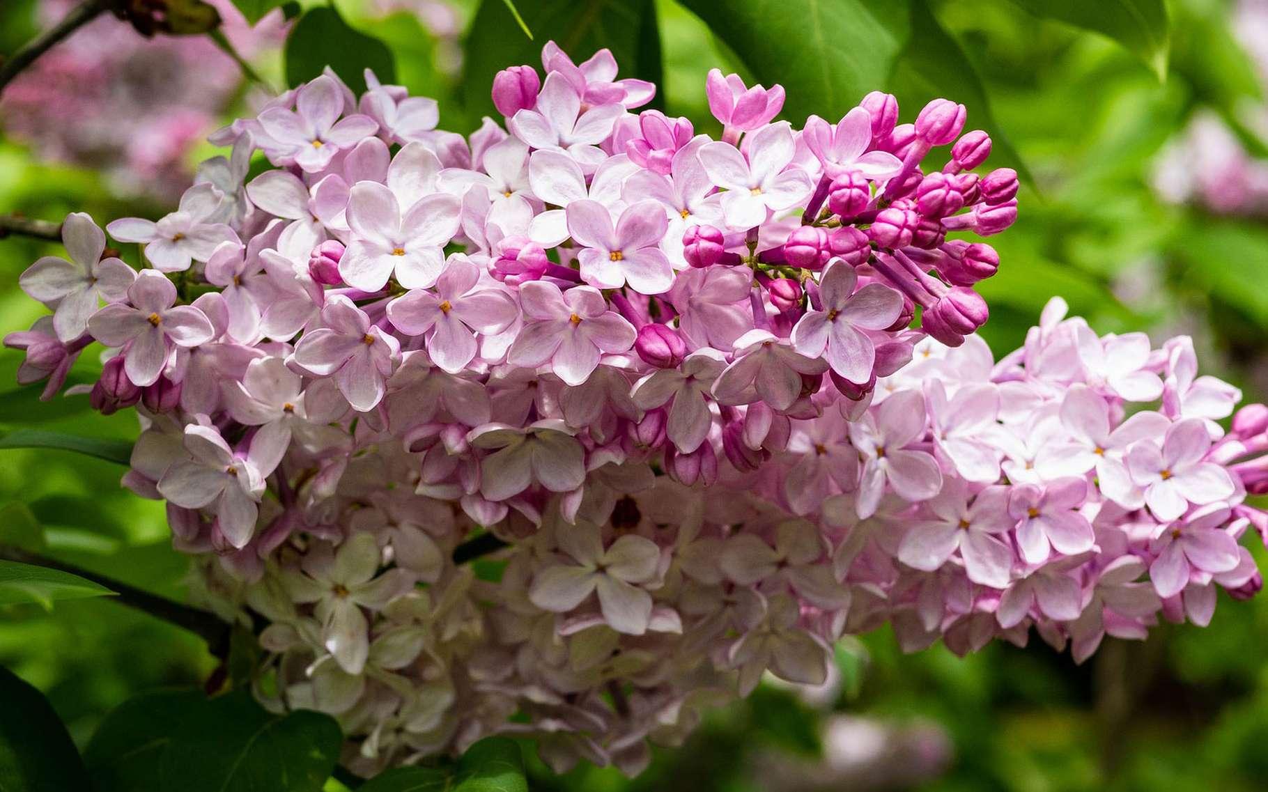 On peut tailler sévèrement le lilas. © Samuel Stone, Pixabay, DP