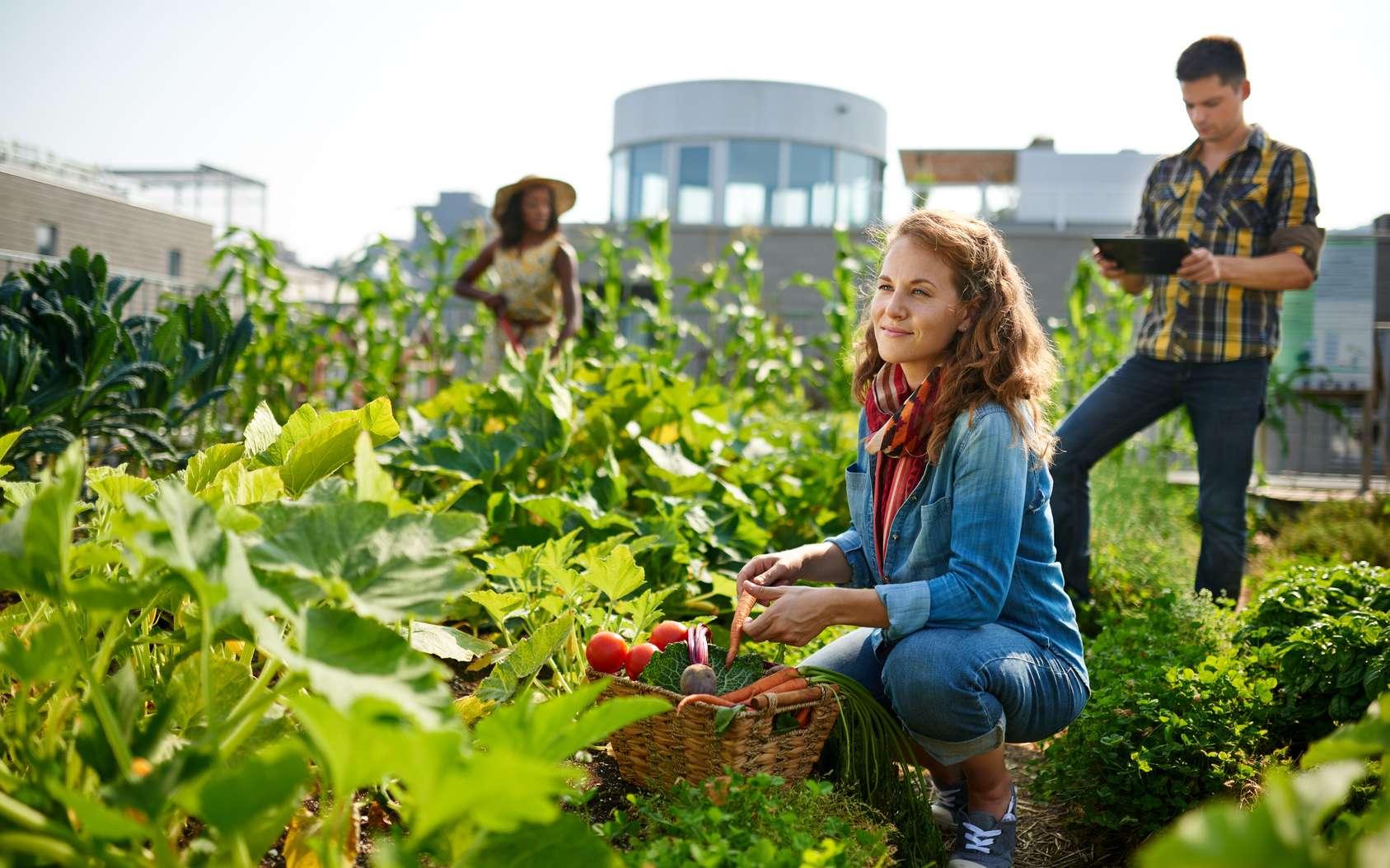 L'agriculture urbaine est en plein essor. Il y a une vraie demande des citadins pour la culture de fruits et de légumes au cœur des grandes villes. © AYAimages, fotolia