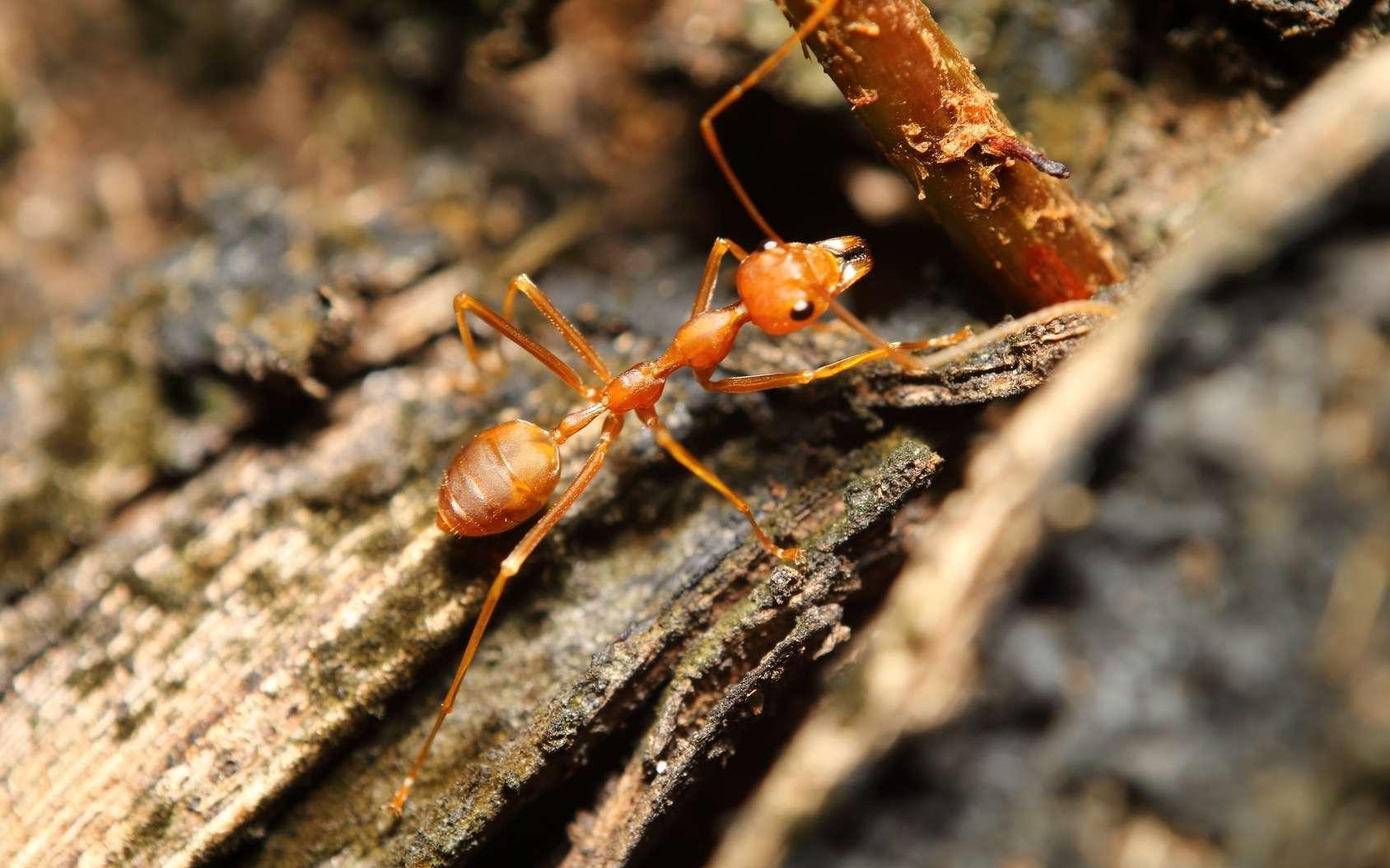 La fourmi de feu Solenopsis invicta produit un venin contenant de la solénopsine. Cette dernière est-elle un remède contre le psoriasis ? © sarawuth123, Fotolia