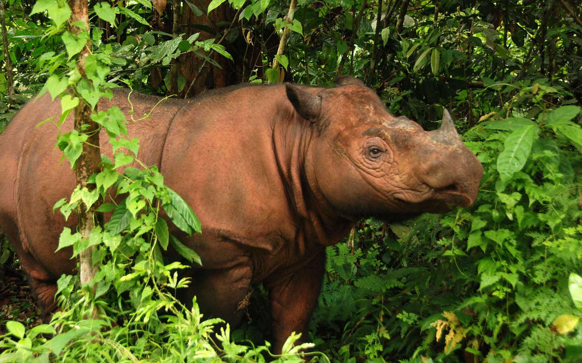 Le rhinocéros de Sumatra n'existe plus à l'état sauvage en Malaisie depuis 2014. © International Rhino Foundation