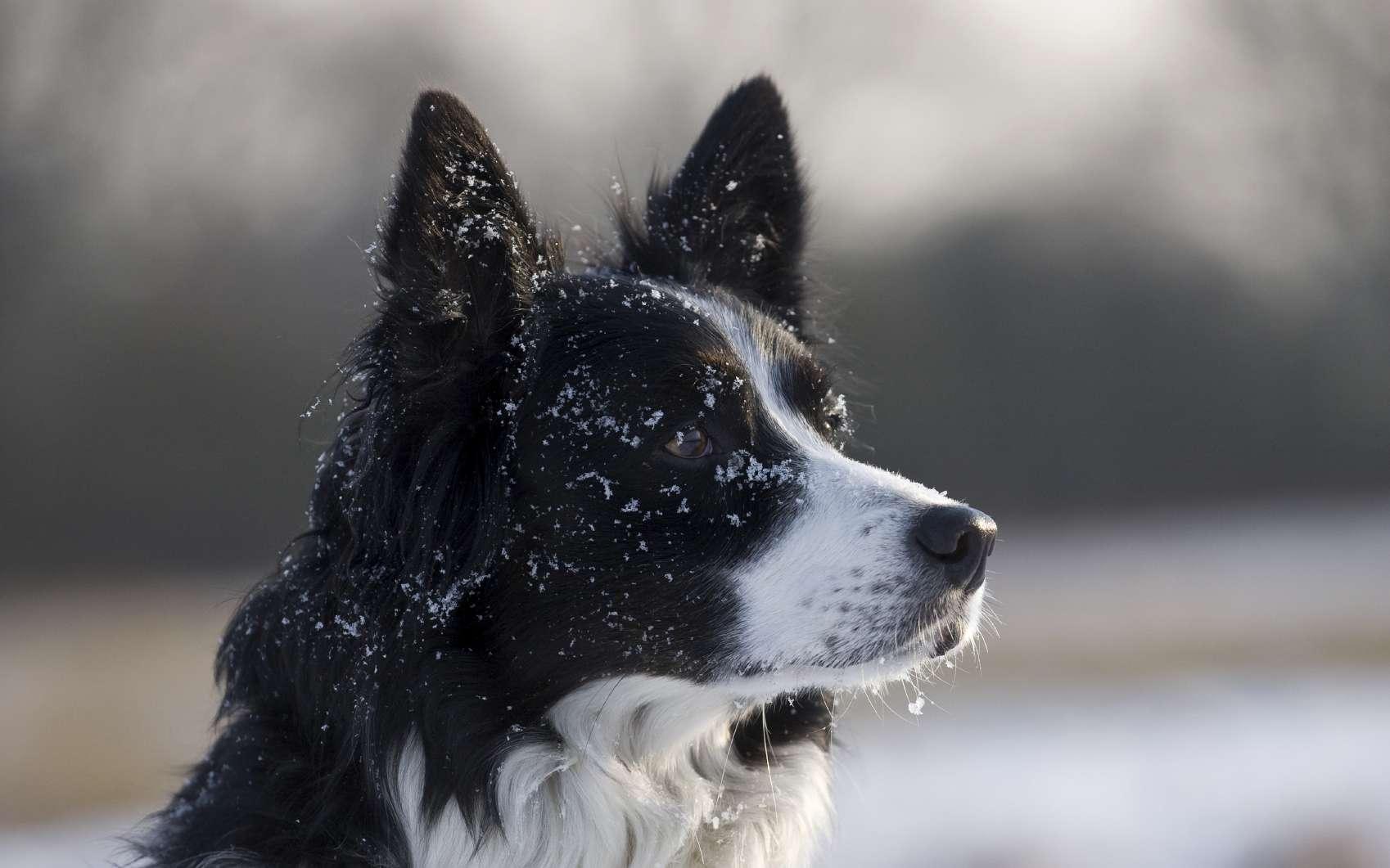 Il est « plus facile de mesurer les différences d'intelligence et la relation entre longévité et intelligence chez les chiens » que chez les humains, expliquent les chercheurs. © happyborder, Istock.com