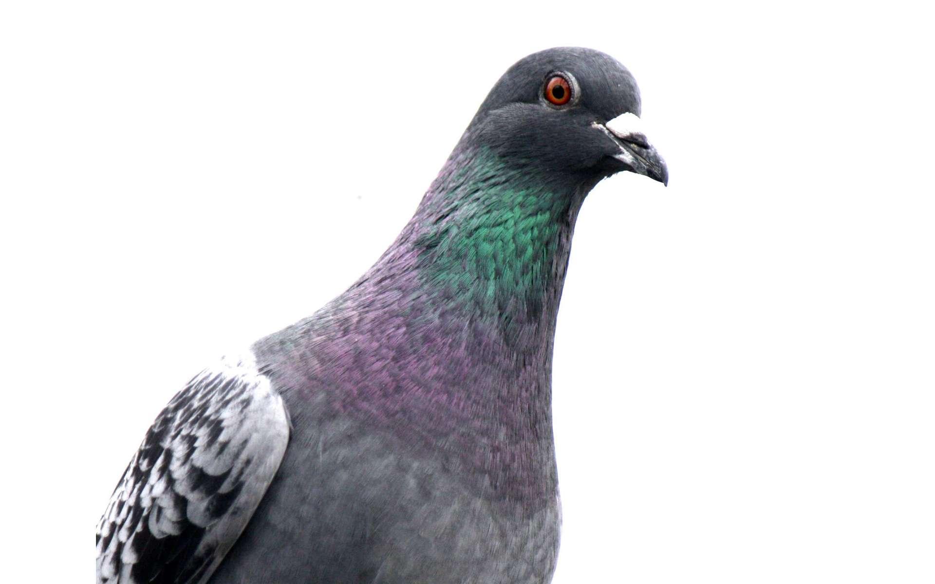 La boussole du pigeon ne serait pas dans son bec mais dans son œil. © jans canon, Flickr, CC by 2.0