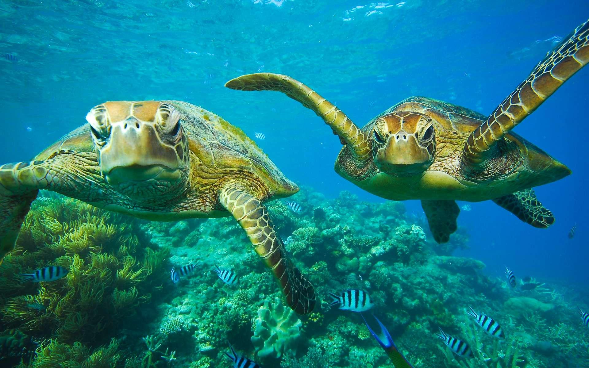 Les tortues ne seraient pas des êtres inoffensifs se réfugiant dans leur carapace en cas de danger. © treetstreet, Adobe Stock