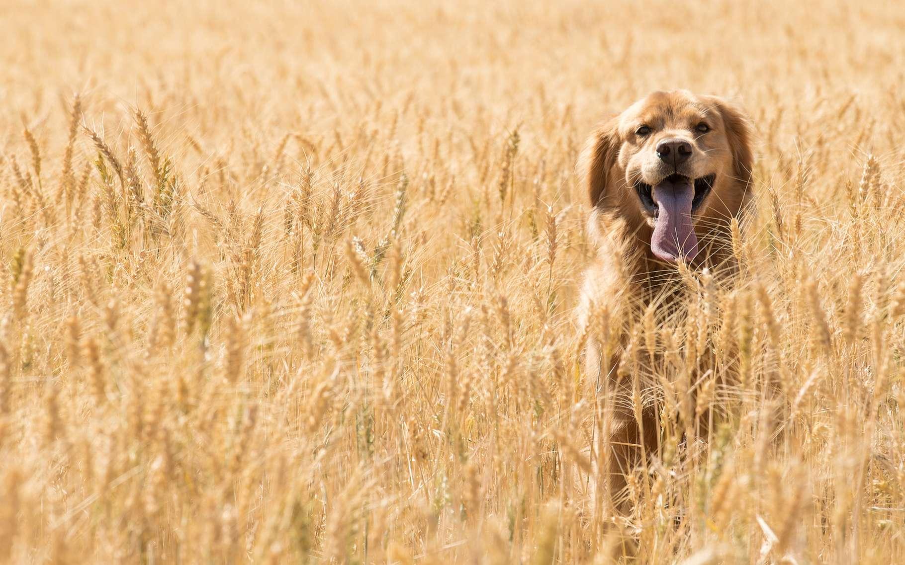 En cohabitant avec des Homo sapiens devenus agriculteurs, les chiens ont acquis les gènes leur permettant de mieux digérer l'amidon. © Mat Hayward, Shutterstock