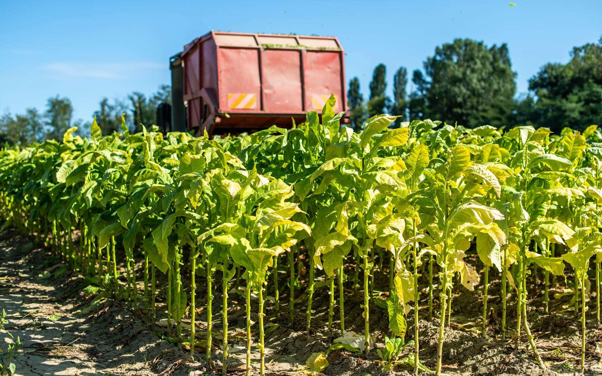 Un tracteur récolte les feuilles de tabac dans un champ ©deyangeorgiev