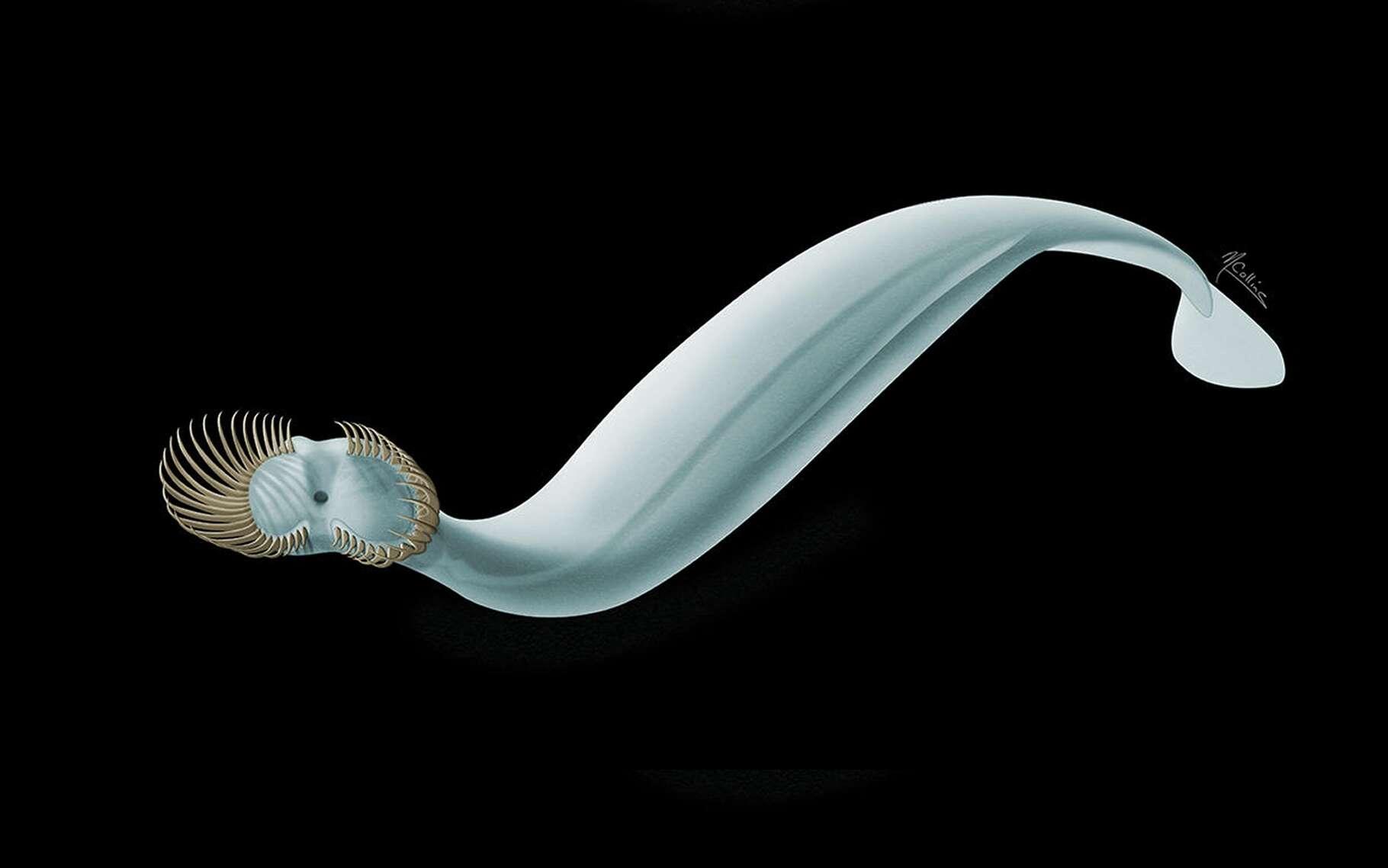 Une belle reconstitution de Capinatator praetermissus, un ver sagittaire, grand chasseur des mers du Cambrien ayant vécu il y a 500 millions d'années. © Marianne Collins, musée royal de l'Ontario