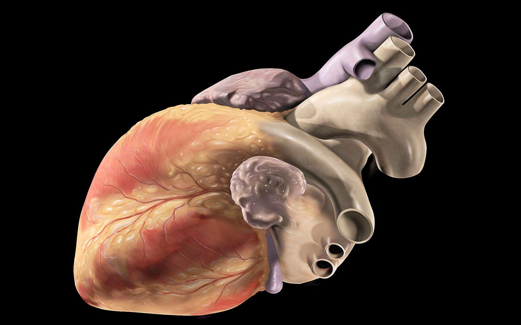 Sur cette illustration, le cœur est présenté sans sa tunique, le péricarde, une sorte de sac qui enveloppe le cœur. De forme conique, sa pointe, ou apex, dirigée vers le bas, se trouve au niveau du ventricule gauche. En haut à droite, observez la crosse de l'aorte (en gris), d'où partent trois grosses artères : l'artère subclavière gauche, l'artère carotide commune gauche et le tronc brachio-céphalique.© Patrick J. Lynch, CC by-sa 2.5