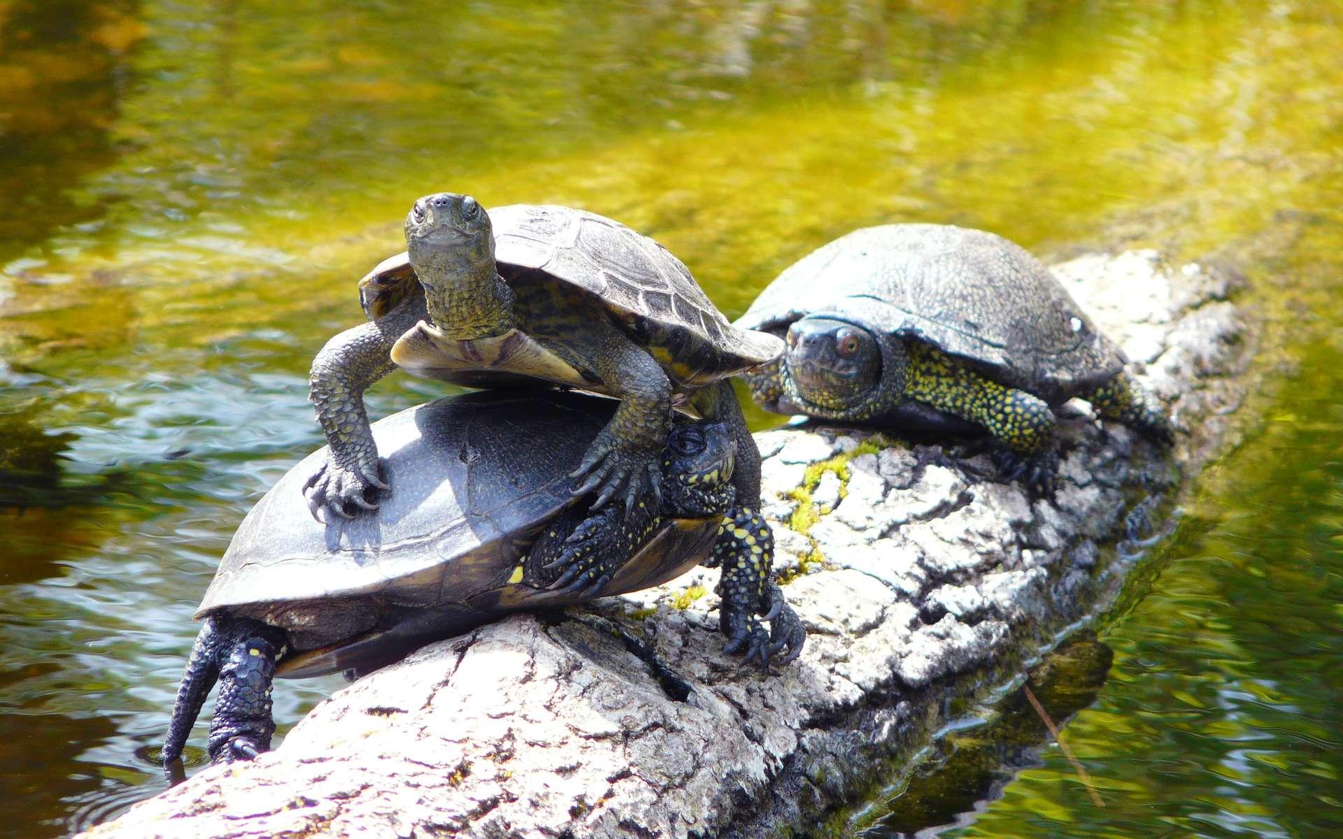 Les tortues aquatiques telles que ces cistudes d'Europe se regroupent parfois en nombre sur les souches ou les pierres pour se réchauffer au soleil. © Patrick Straub