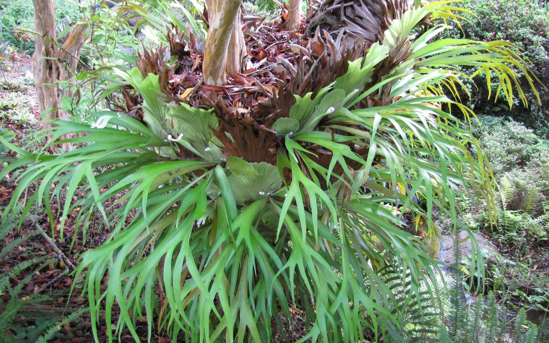 Fougère Platycerium bifurcatum © Forest and Kim Starr, Flickr