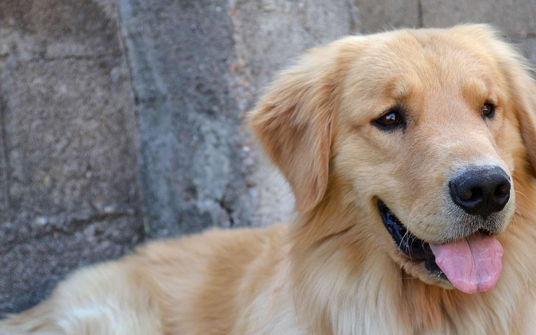 Le golden retriever est un des chiens préférés des Français. © Africa Studio, Shutterstock