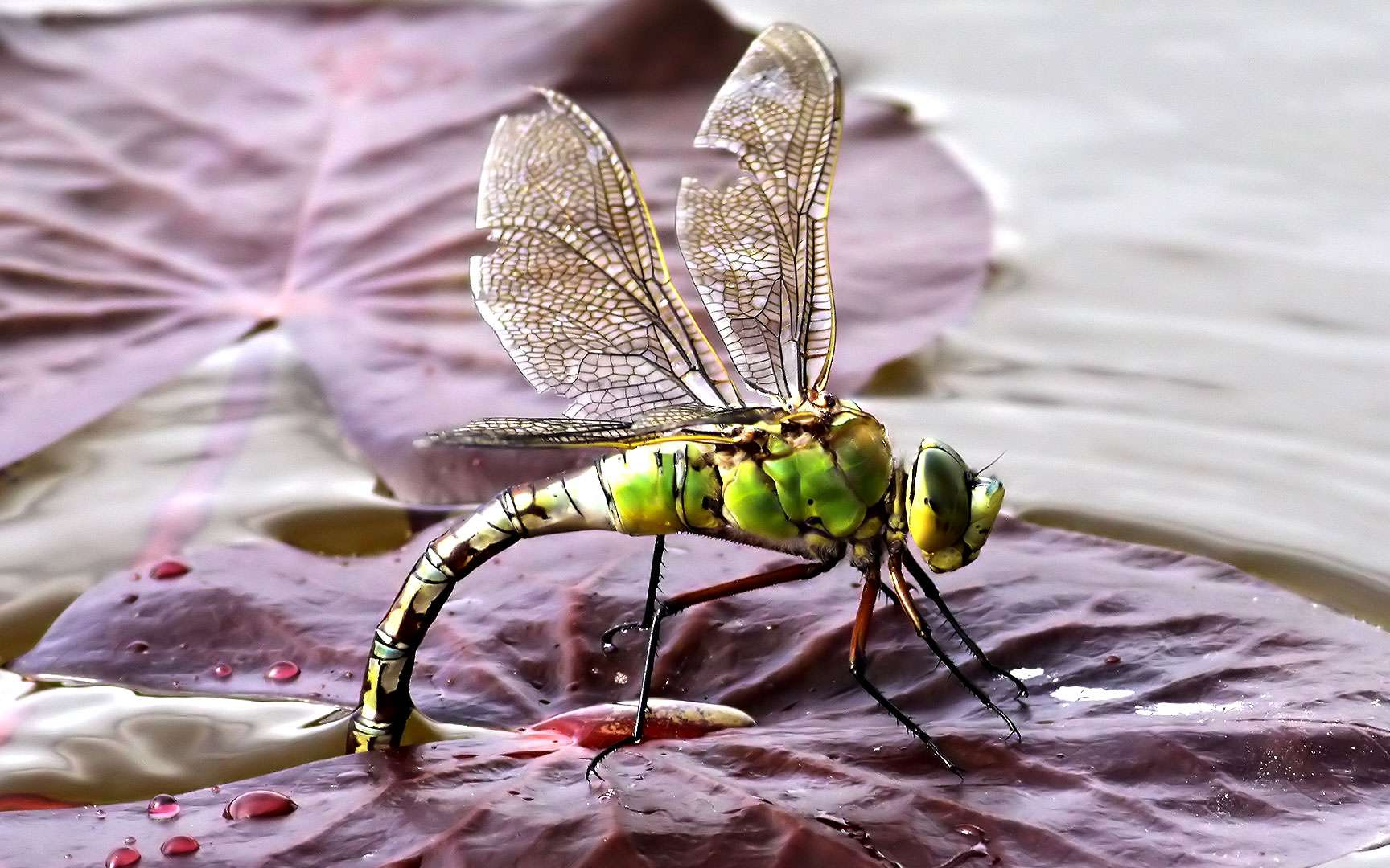 Anax Empereur. Anax imperator. C'est avec la Grande Aeschne la libellule la plus grande d'Europe.