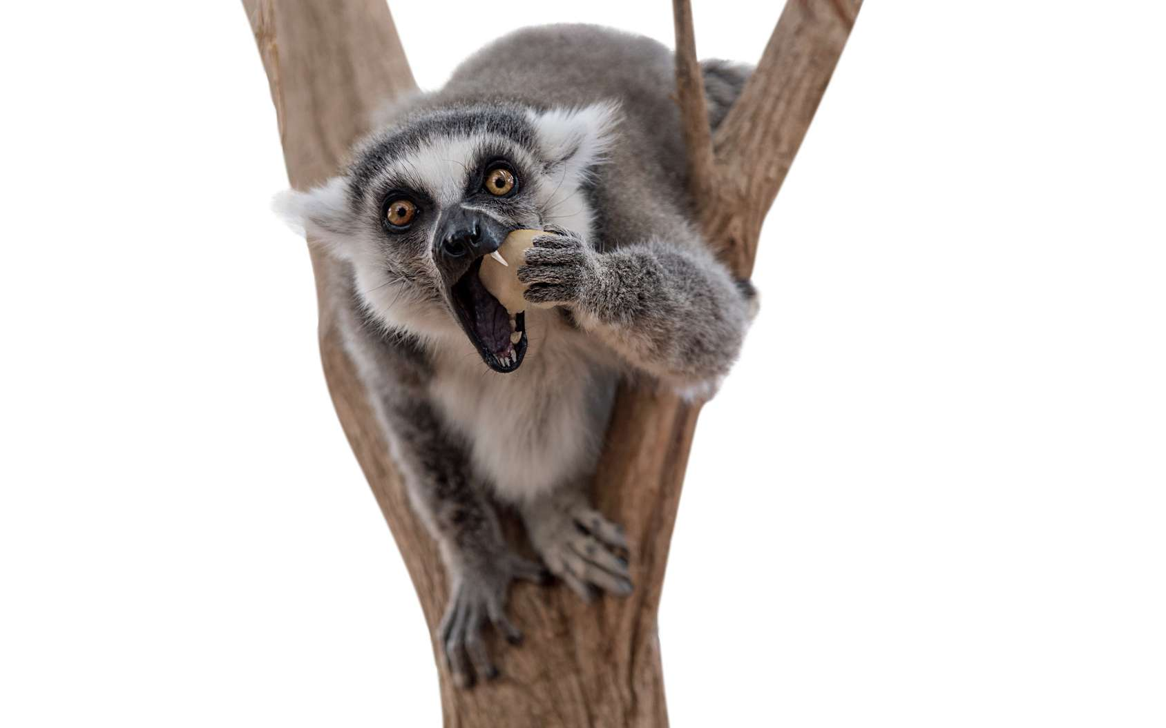 Certaines espèces de lémuriens sont menacées de disparition. © Theartofpics, Fotolia