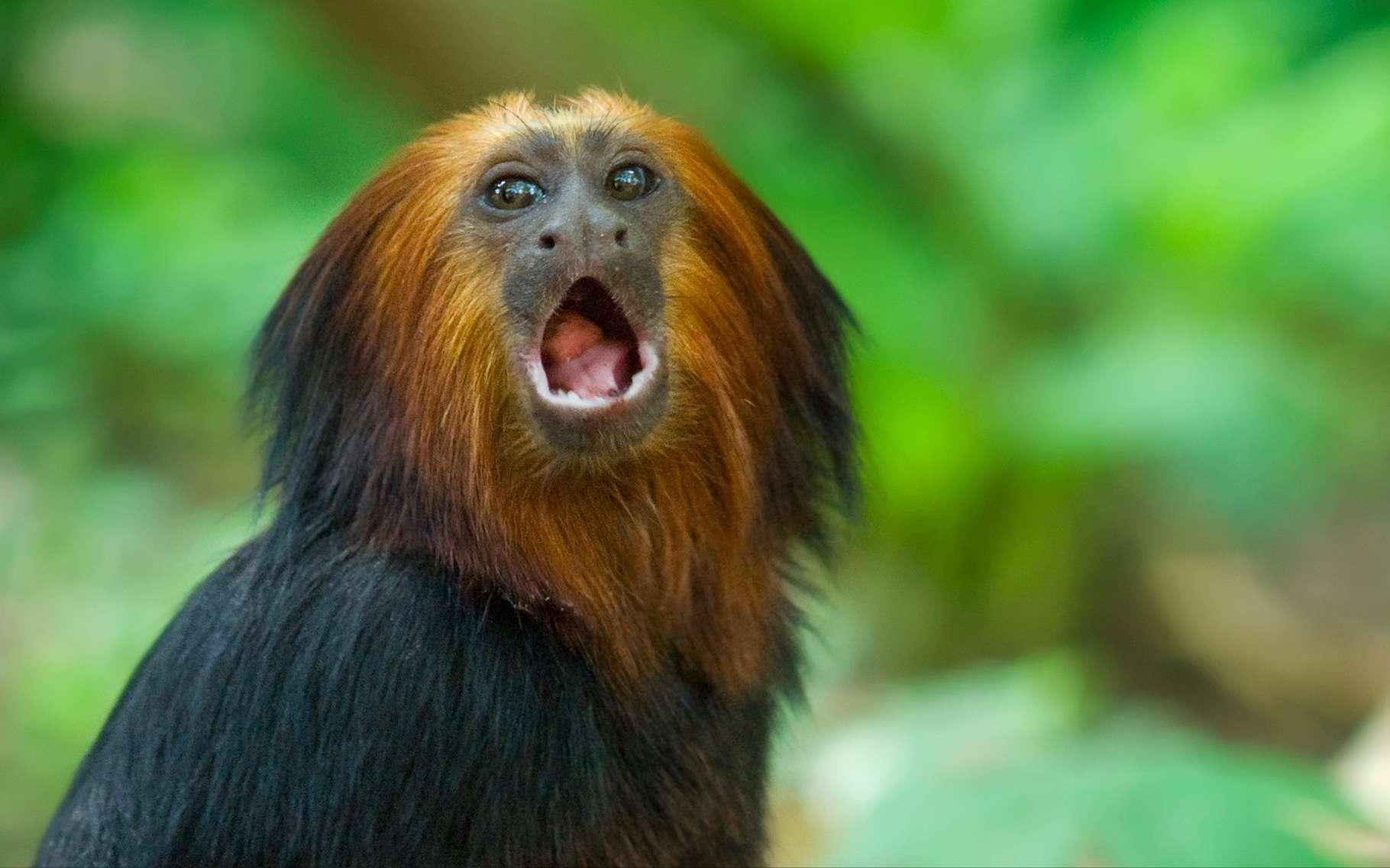 Pour parler comme le singe Titi, il faut veiller à répéter les sons dans le bon ordre. © Eric Gevaert, Shutterstock
