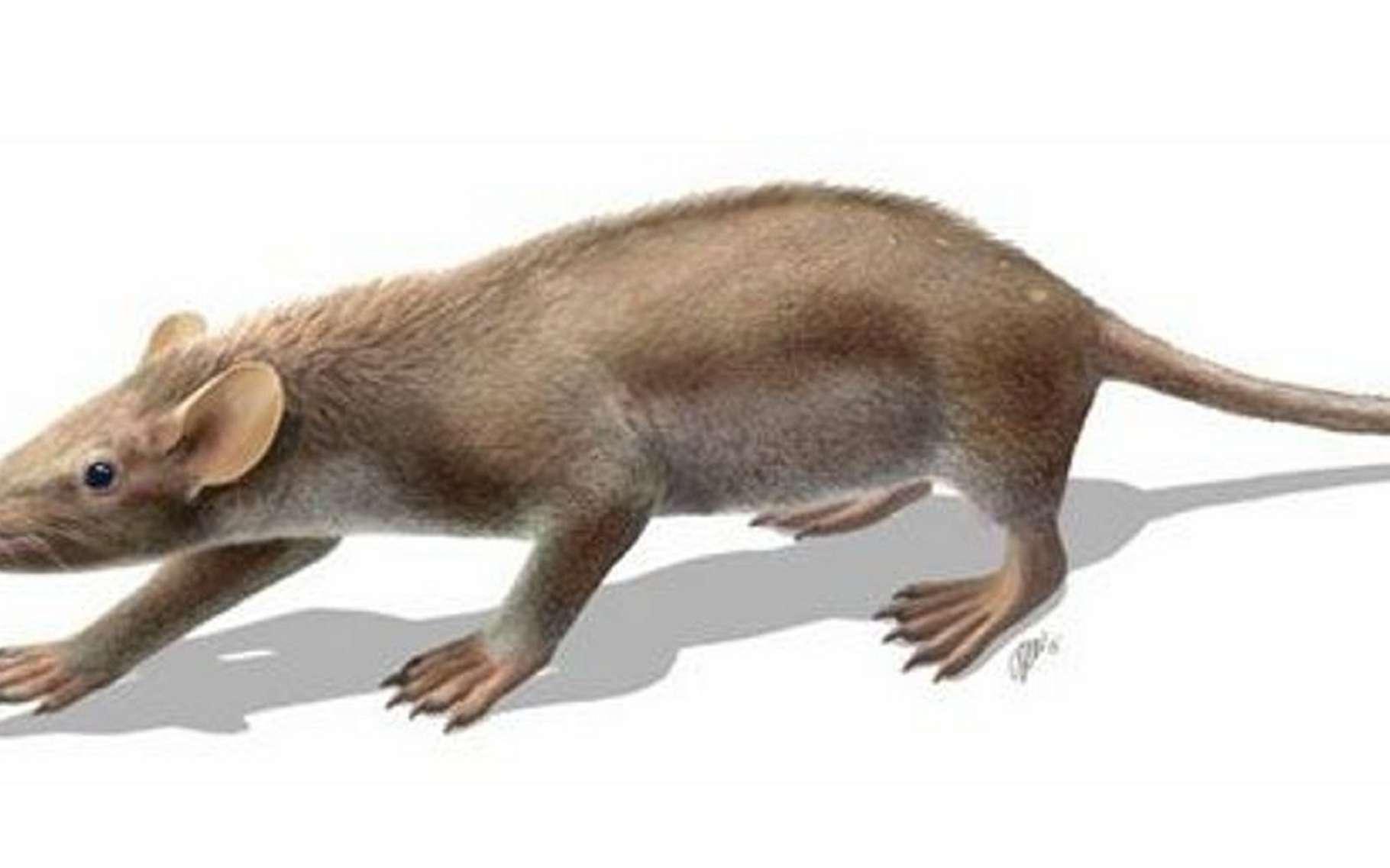 Sur son dos, Spinolestes xenarthrosus cachait des épines au milieu de son pelage. Ce petit mammifère de 25 cm de long, qui pesait moins de 100 grammes, vivait au Crétacé inférieur, avant l'impact de l'astéroïde qui a creusé le cratère de Chicxulub. L'espèce a disparu, comme beaucoup d'autres, dont les dinosaures non aviens. © O. Sanisidro