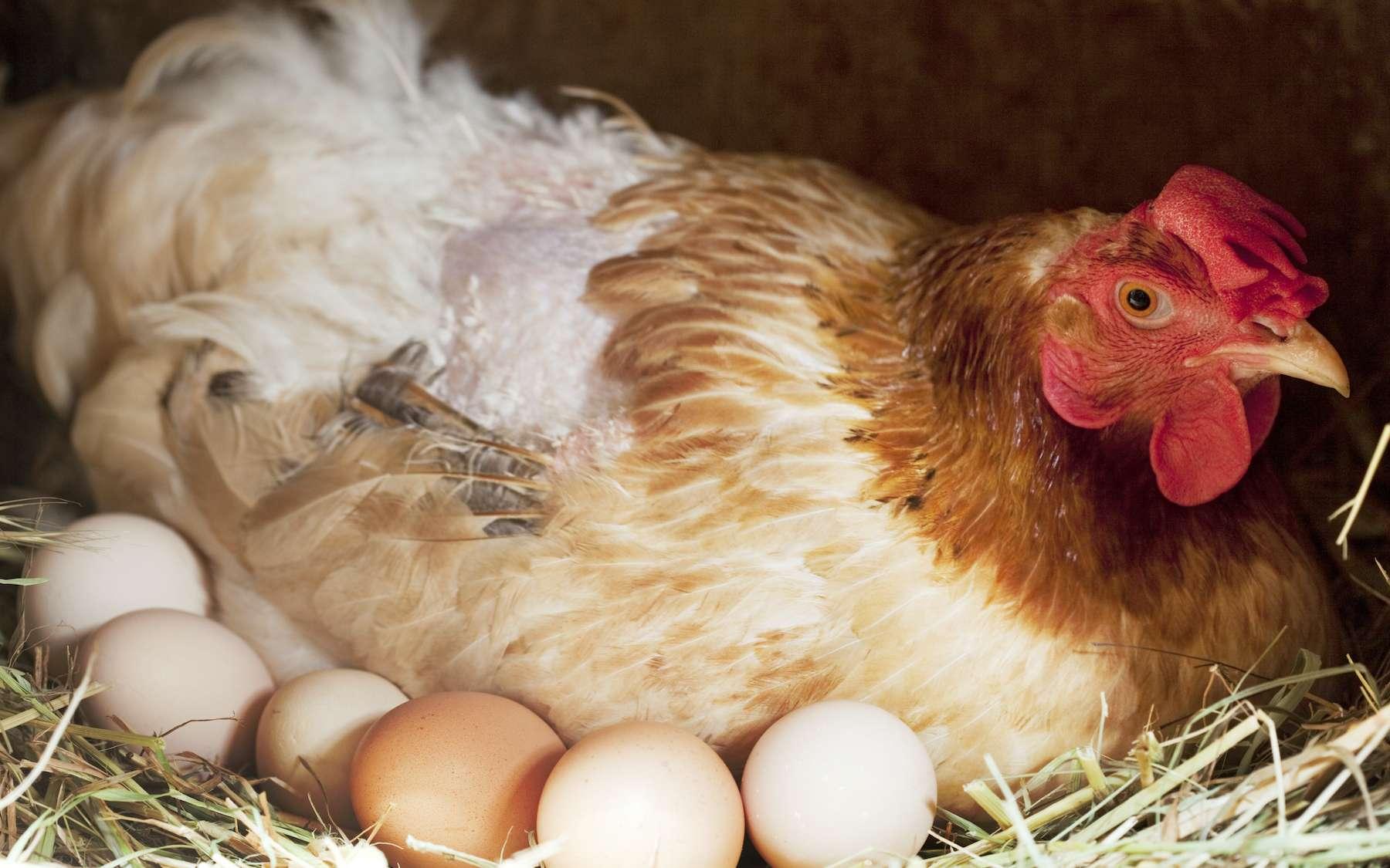 Les poules pondeuses sont fréquemment victimes de fractures lors de la ponte. © RomainQuéré, Adobe Stock