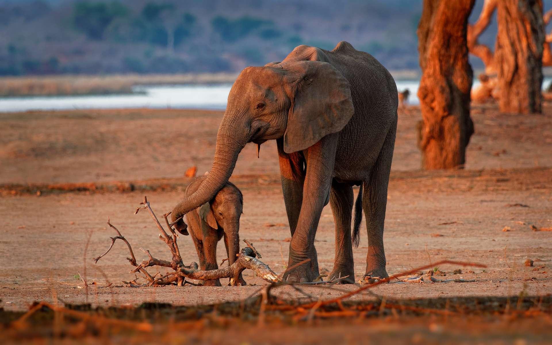 Éléphanteau de savane d'Afrique avec sa mère. © phototrip.cz, Adobe Stock