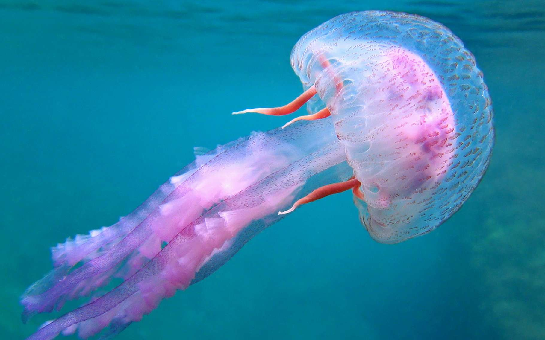 Pelagia noctiluca est une petite méduse urticante, présente notamment en Méditerranée. © Vilainecrevette, Shutterstock
