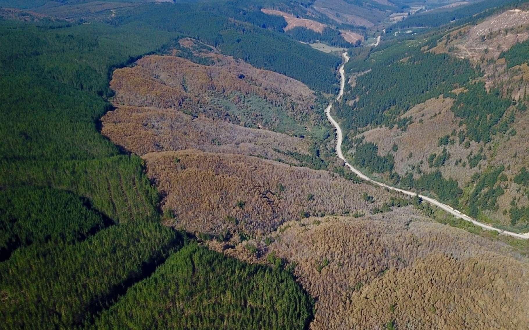 Les derniers vestiges des forêts chiliennes indigènes, entourées de plantations d'arbres. Le résultat d'une politique non maîtrisée qui, selon des chercheurs de l'université de Stanford (États-Unis), manque ses objectifs de préservation de biodiversité et de stockage de CO2. © Cristian Echeverria, Université de Concepcion