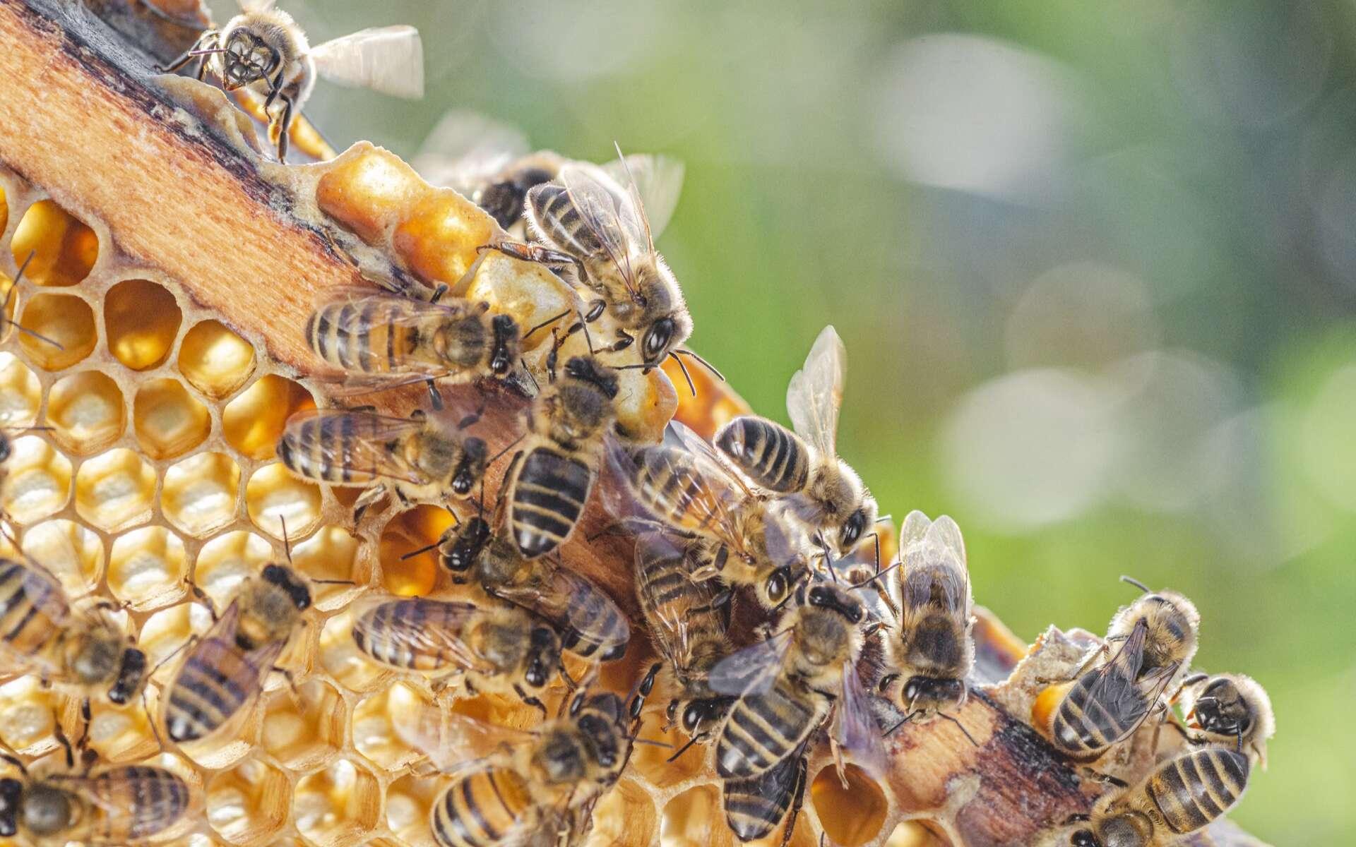 Pour se défendre des attaques des frelons géants, les abeilles utilisent des excréments d'animaux. © Darios, Adobe Stock