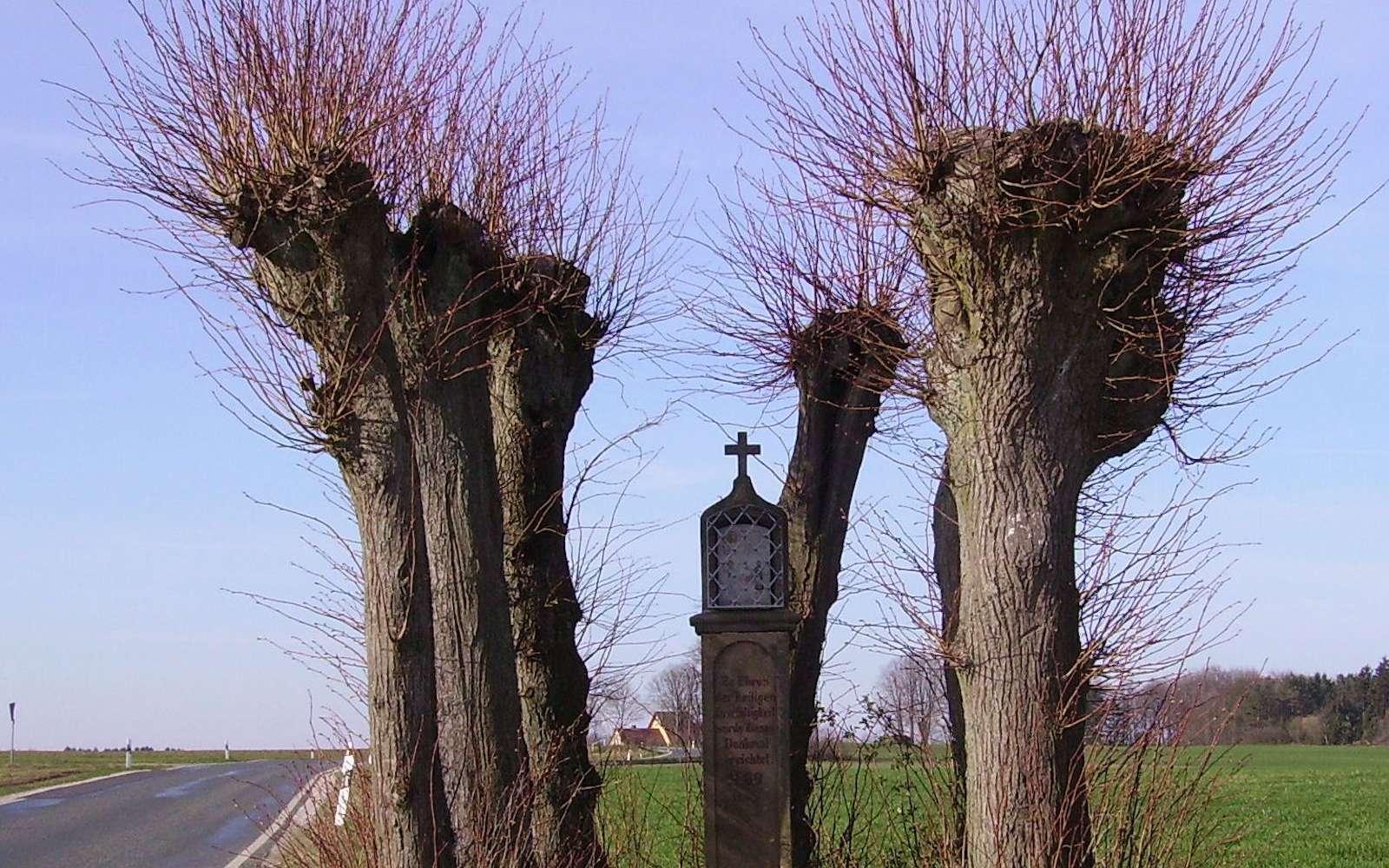 L'arbre têtard, dont les branches maîtresses sont coupées à intervalle régulier. © Immanuel Giel Wikipedia