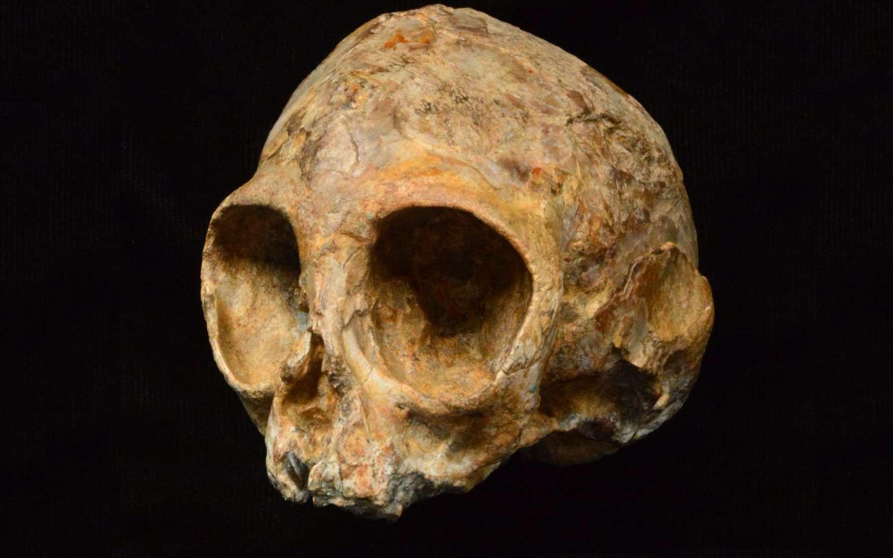 Le crâne de Nyanzapithecus alesi a pu être reconstitué grâce à une analyse 3D aux rayons X. Il éclaire l'histoire des grands singes, donc la nôtre. © Fondation Leakey