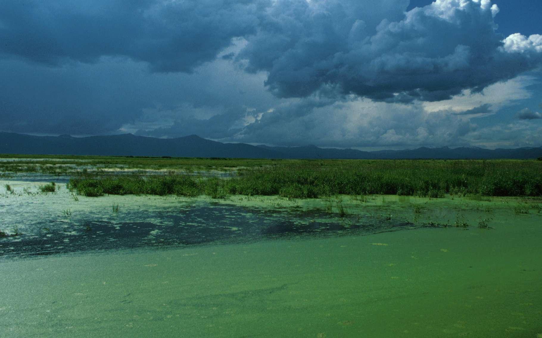 Si elle est considérée comme une algue miraculeuse, la klamath est loin d'avoir fait ses preuves sur le plan scientifique. © U.S. Fish and Wildlife Service, Wikimedia Commons, DP