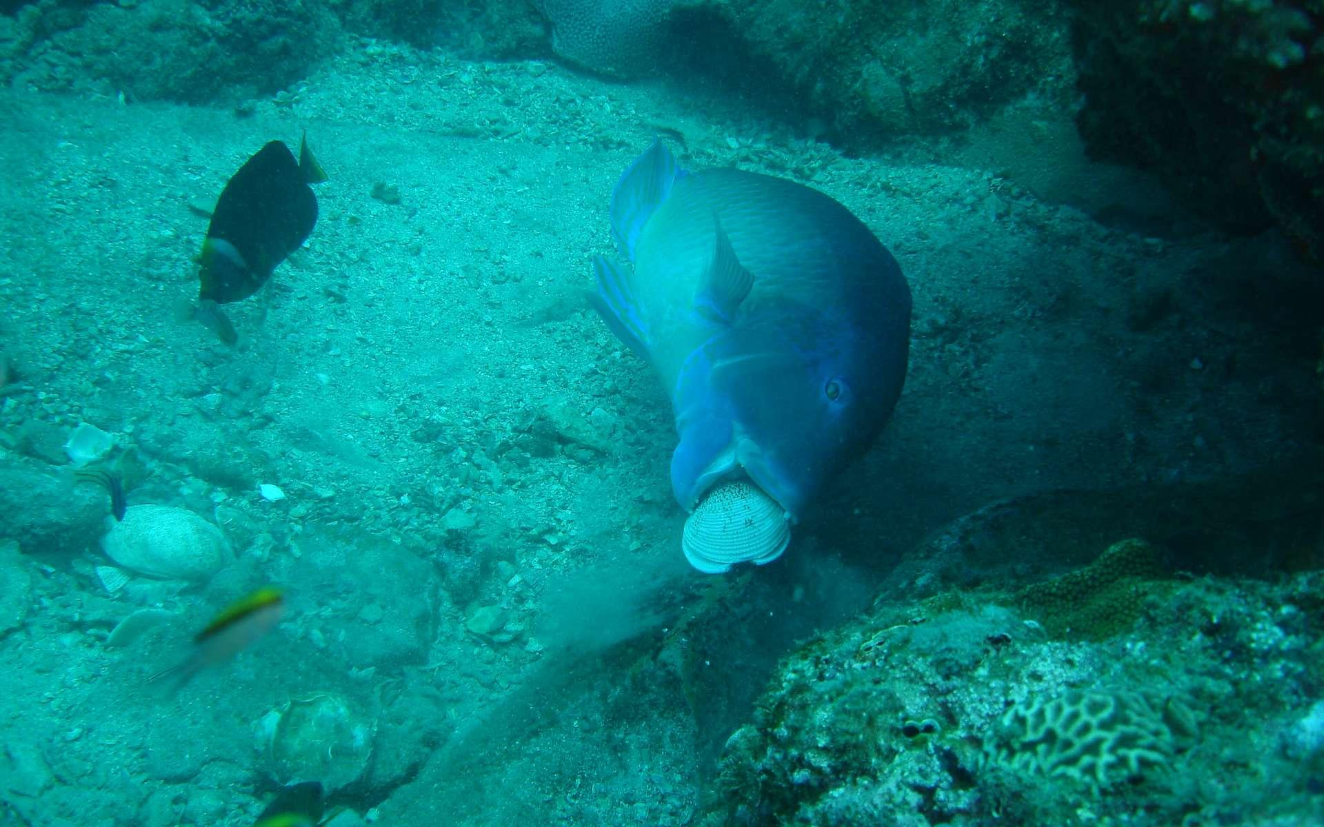 Les poissons sont-ils capables d'utiliser des outils ? Ici, un poisson (Choerodon schoenleinii) utilise un rocher pour casser un coquillage © Scott Gardner