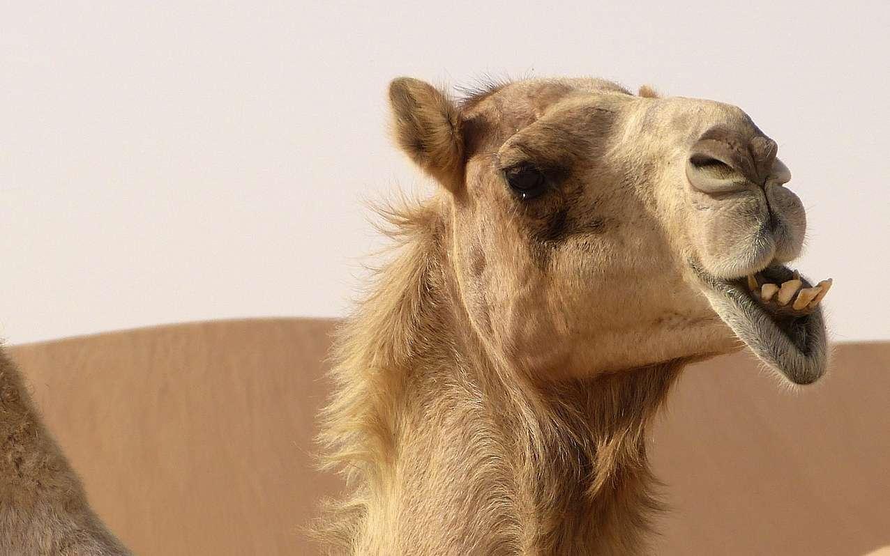Quelle différence entre un chameau et un dromadaire ? © mariefrance, Pixabay