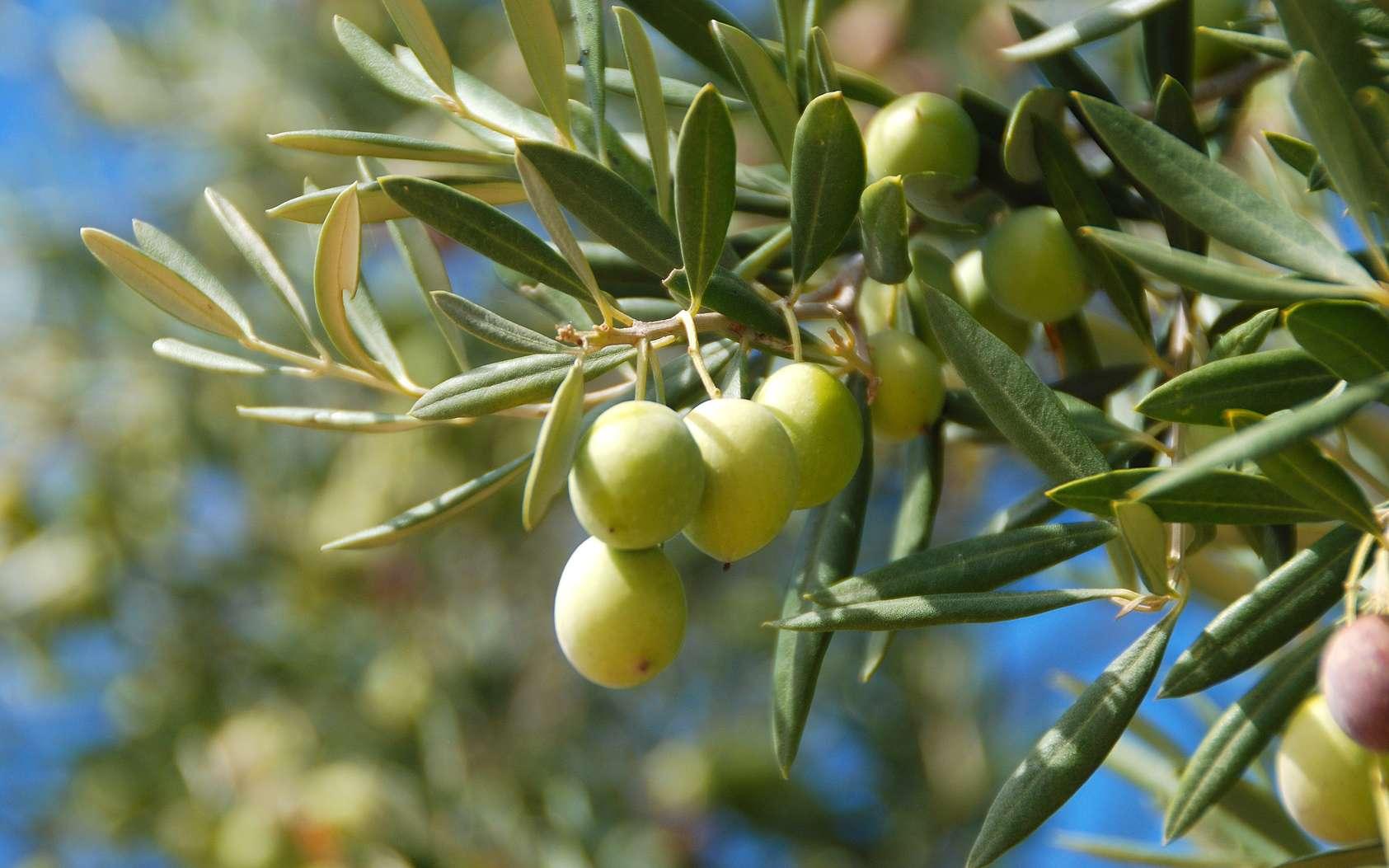 Les oliveraies sont régulièrement attaquées par un insecte qui pond ses œufs dans les olives. © MIKYIMAGENARTE, Fotolia