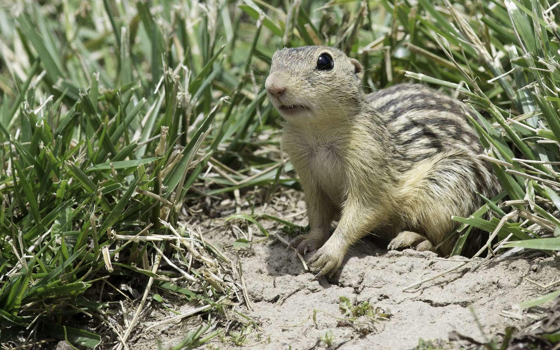 Le spermophile rayé est un écureuil terrestre qui peut hiberner jusqu'à huit mois sans boire. © Kelly Colgan Azar, Flickr