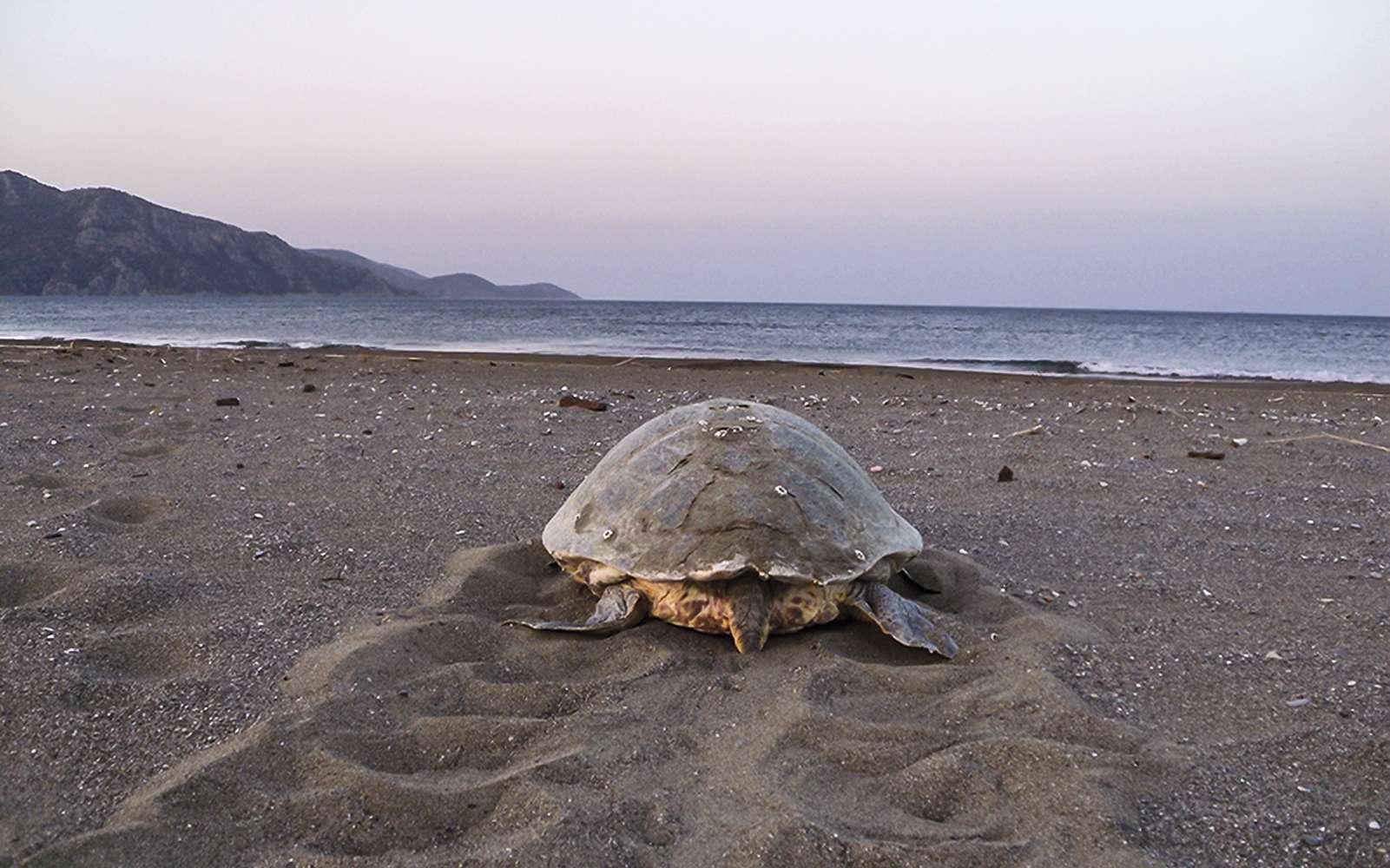Cette photo montre une tortue caouanne (Caretta caretta) retournant à la mer après avoir déposé ses œufs à environ 45 cm de profondeur dans le sable d'une plage de Turquie. Les tortues marines viennent généralement pondre pendant la nuit. Une étude se penche pour savoir dans quelles proportions le réchauffement climatique impactera la phénologie des pontes. © Dekamer team-Turkey