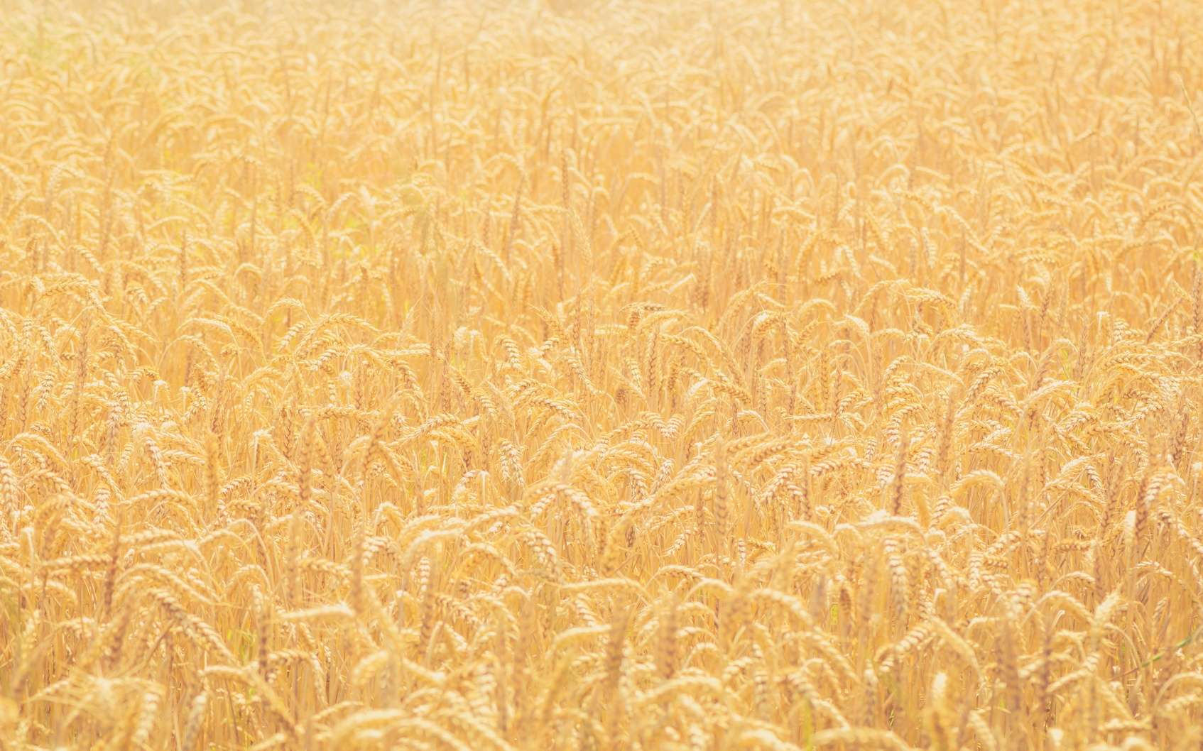 Le blé est la première culture céréalière en France. © patila, Fotolia