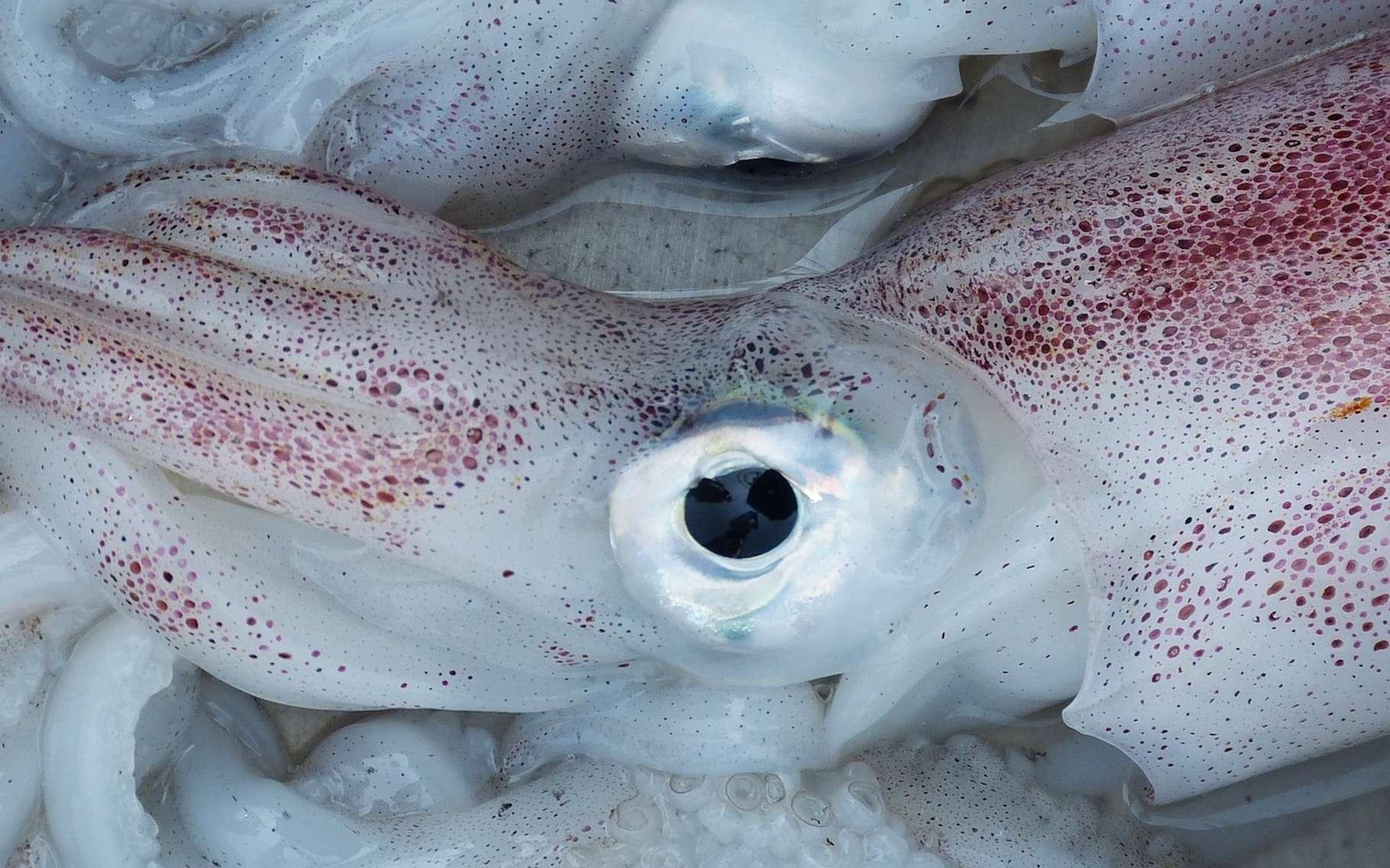 Certaines espèces de calmars sont comestibles pour l'Homme. On les qualifie alors généralement d'encornets. © falco, Pixabay, DP