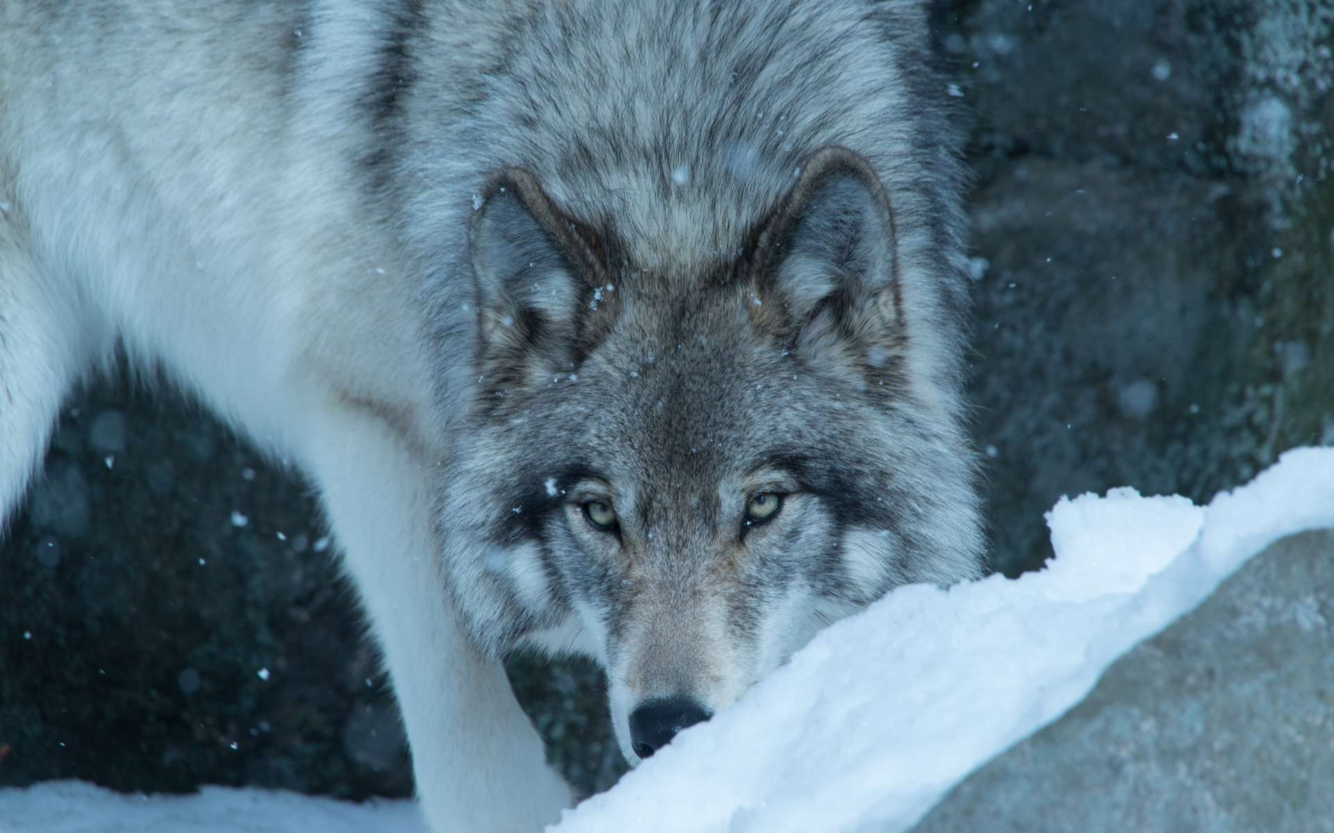Les causes de la disparition il y a 12.000 ans du « loup terrible » popularisé dans Game of Thrones
