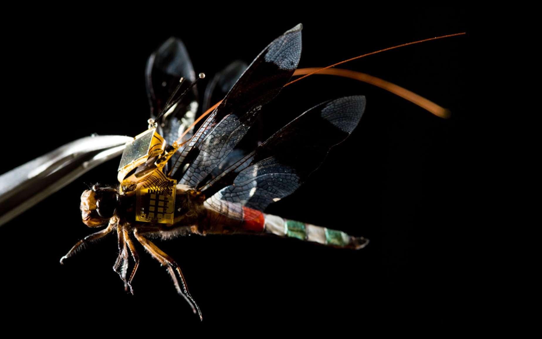 Le dispositif de stimulation optogénétique développé pour contrôler le vol d'une libellule est alimenté par des cellules photovoltaïques. © Charles Stark Draper Laboratory
