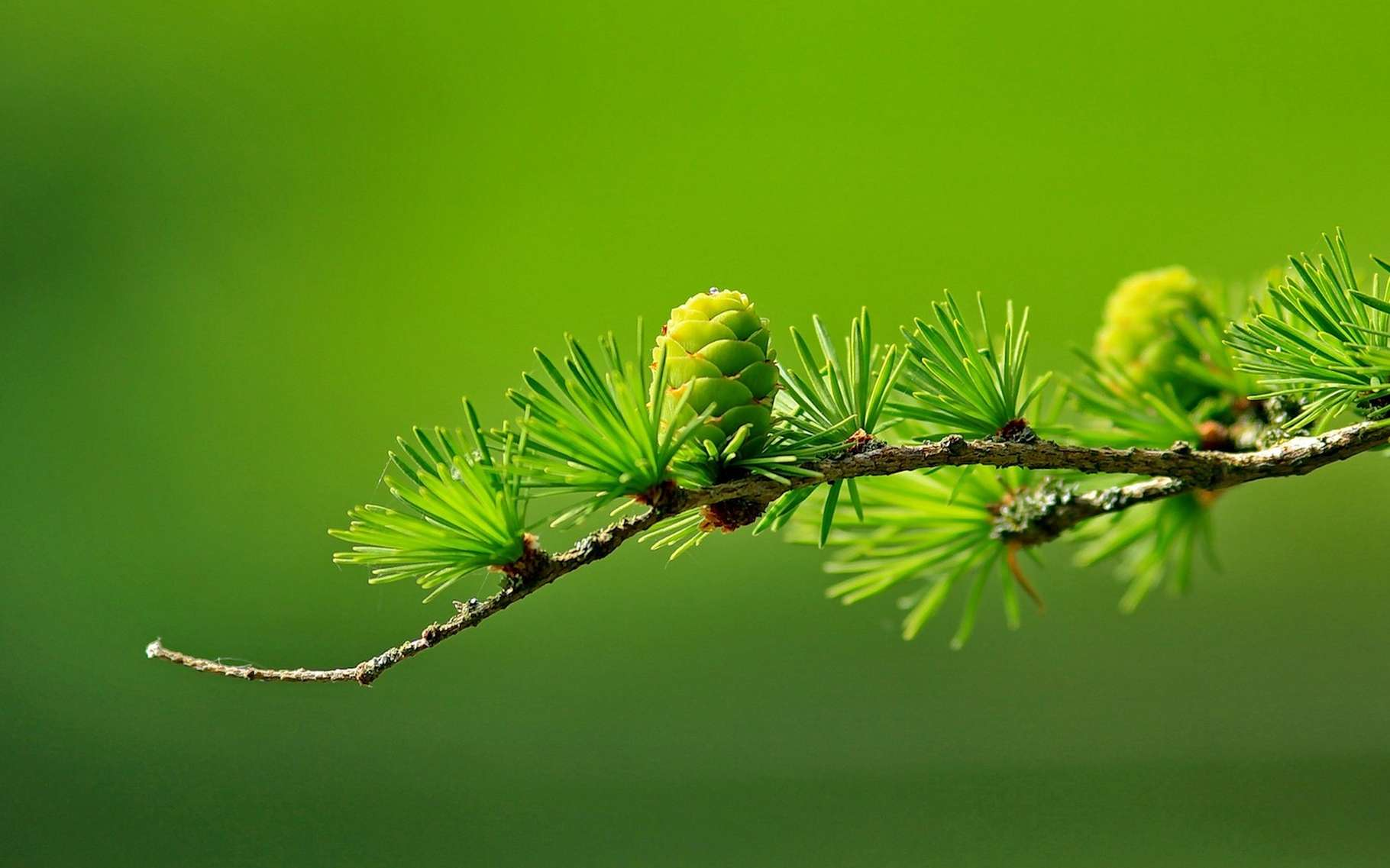 Les conifères sont les principaux représentants des gymnospermes. © JensEnemark, Pixabay, CC0 Public Domain