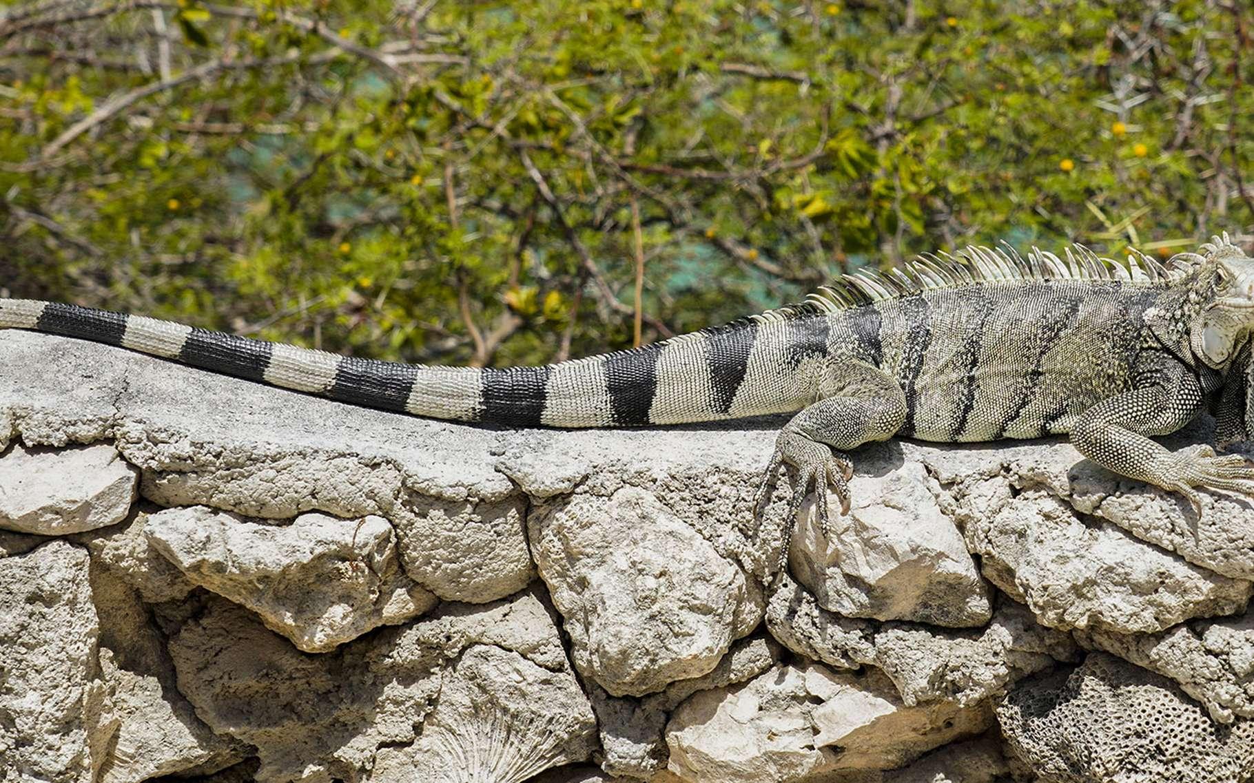 Iguane à Playa Lagun sur l'île de Curaçao. © Antoine, tous droits réservés